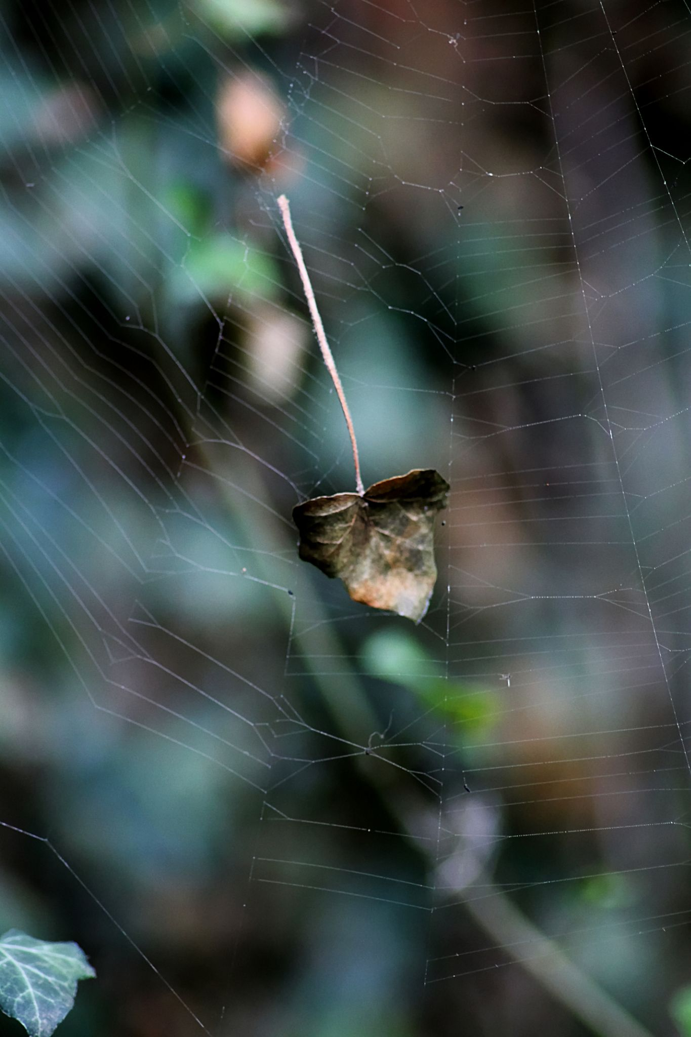 a leaf on a spider web by Laura Petrova