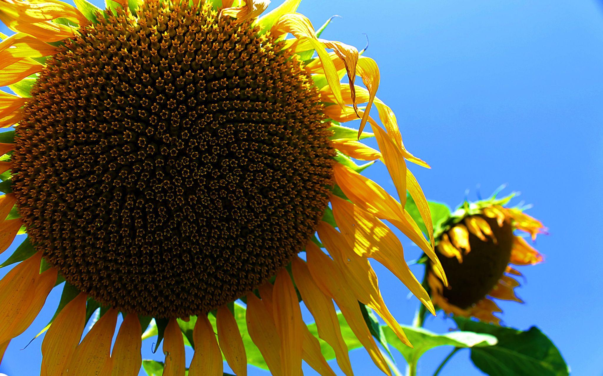 sunflowers :) by Laura Petrova