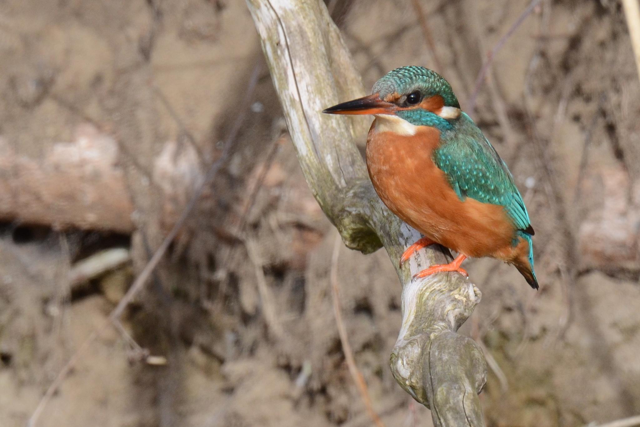 Kingfisher by klaaspelgrim