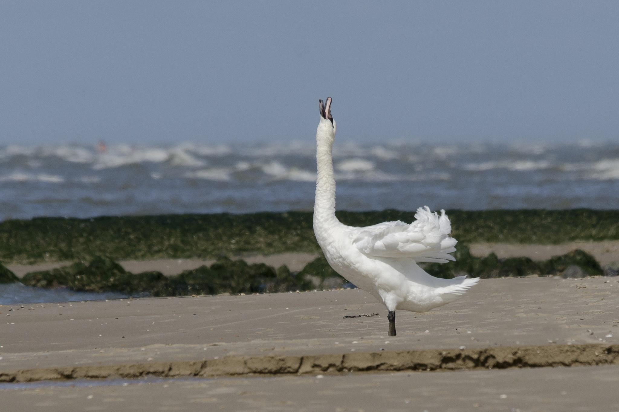 Zwaan op het strand by klaaspelgrim