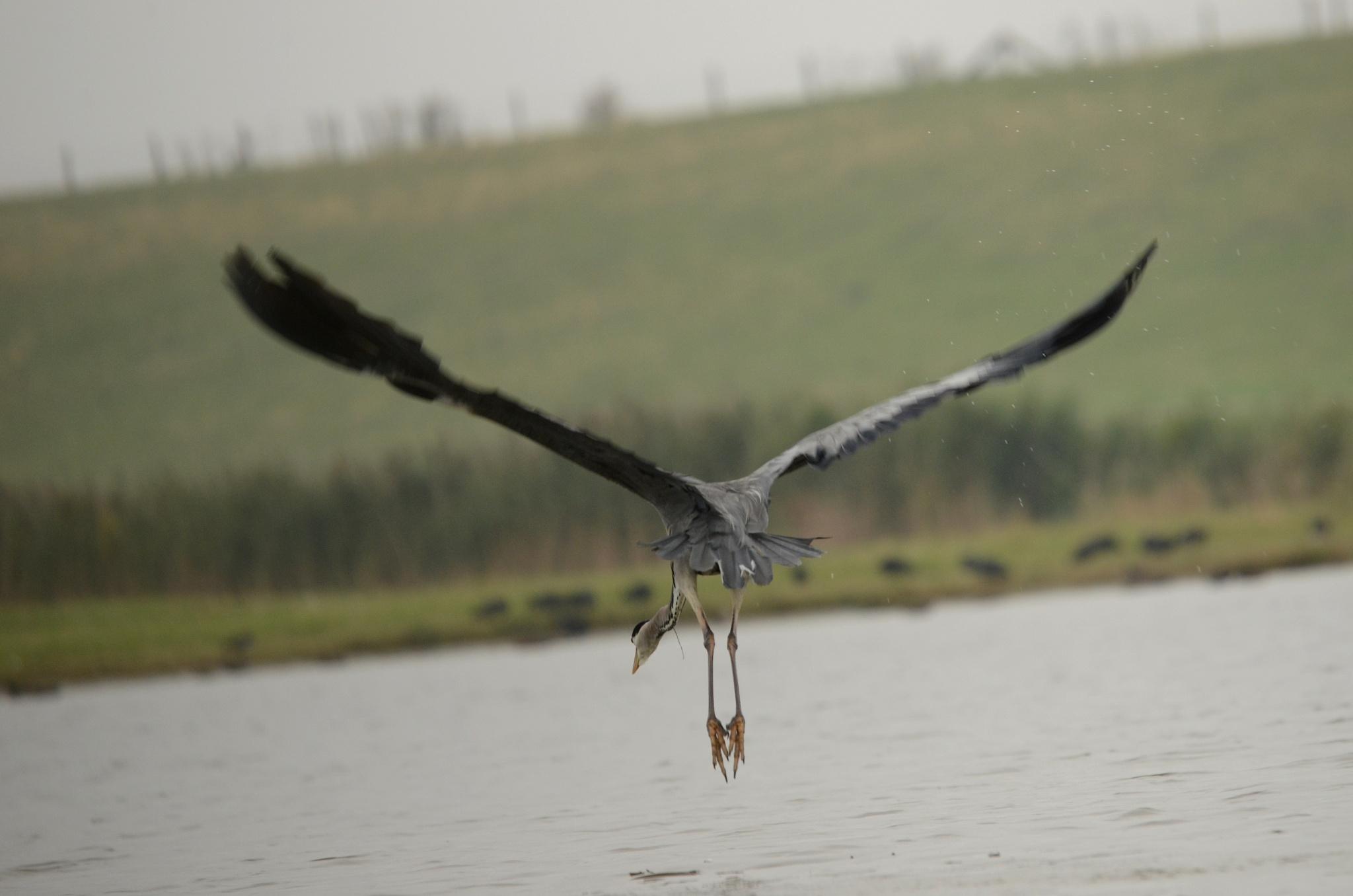 Flying Bleu Haron by klaaspelgrim