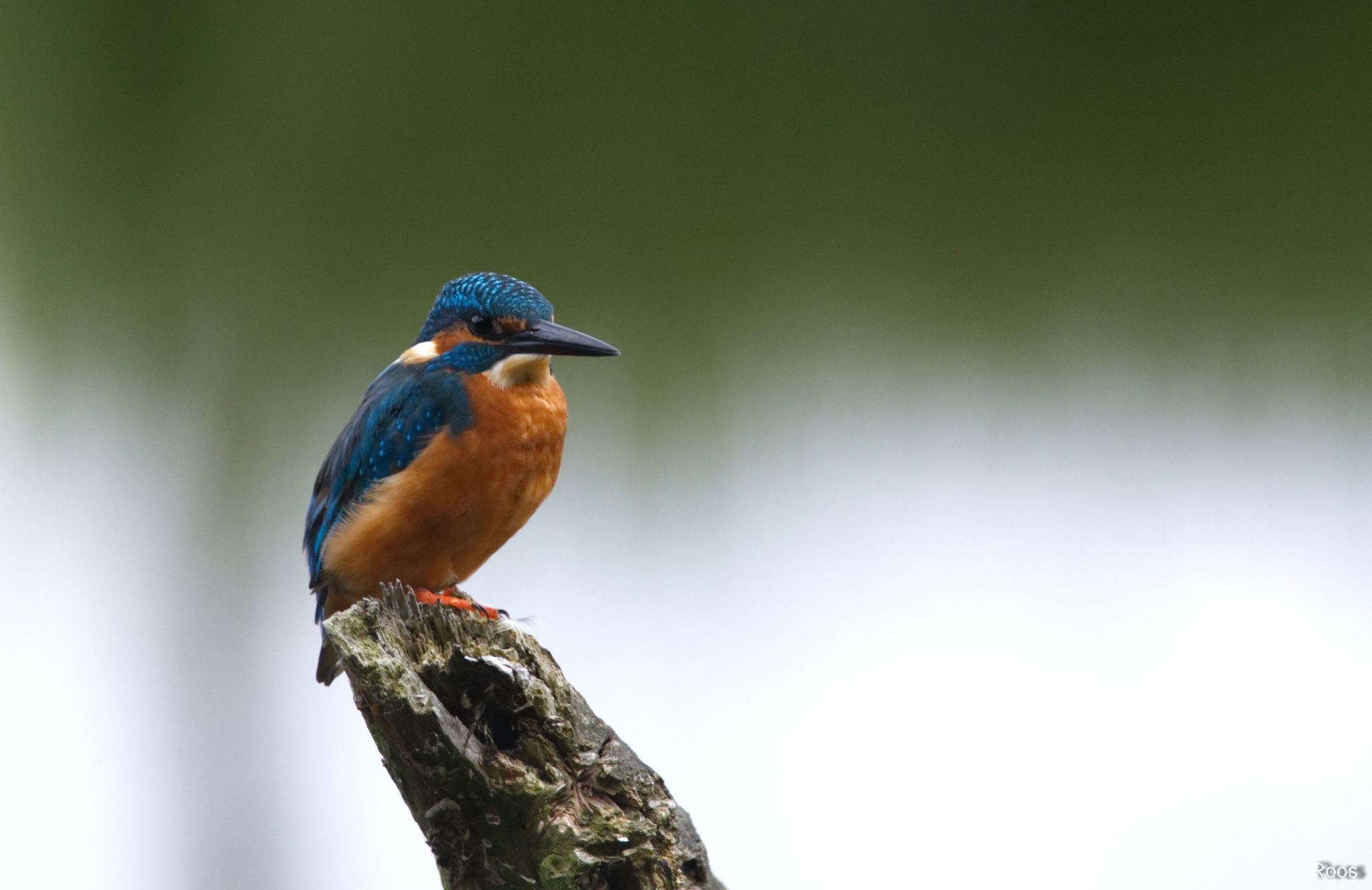 Kingfisher by roostamerus