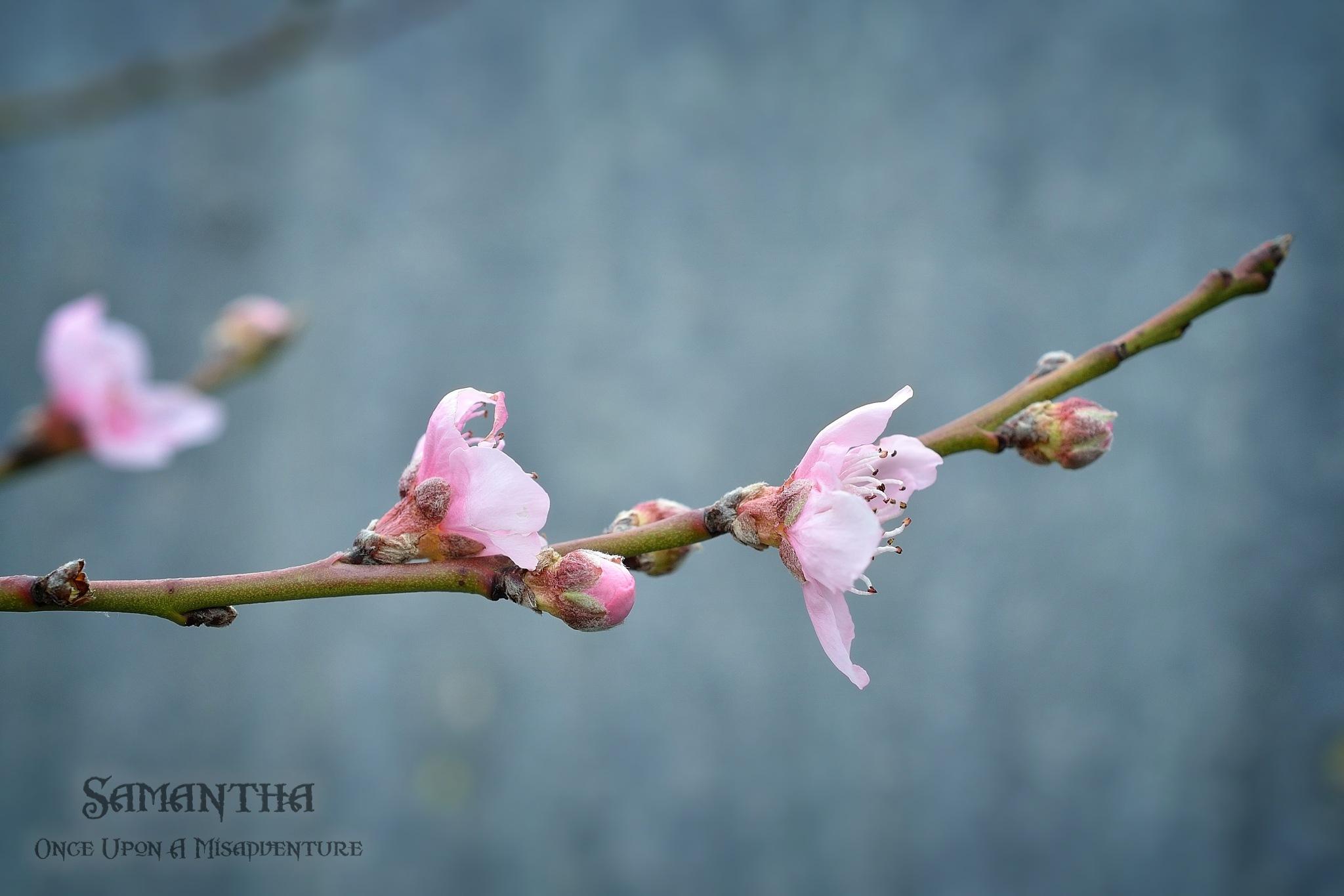 Blossom  by Samantha Cullen