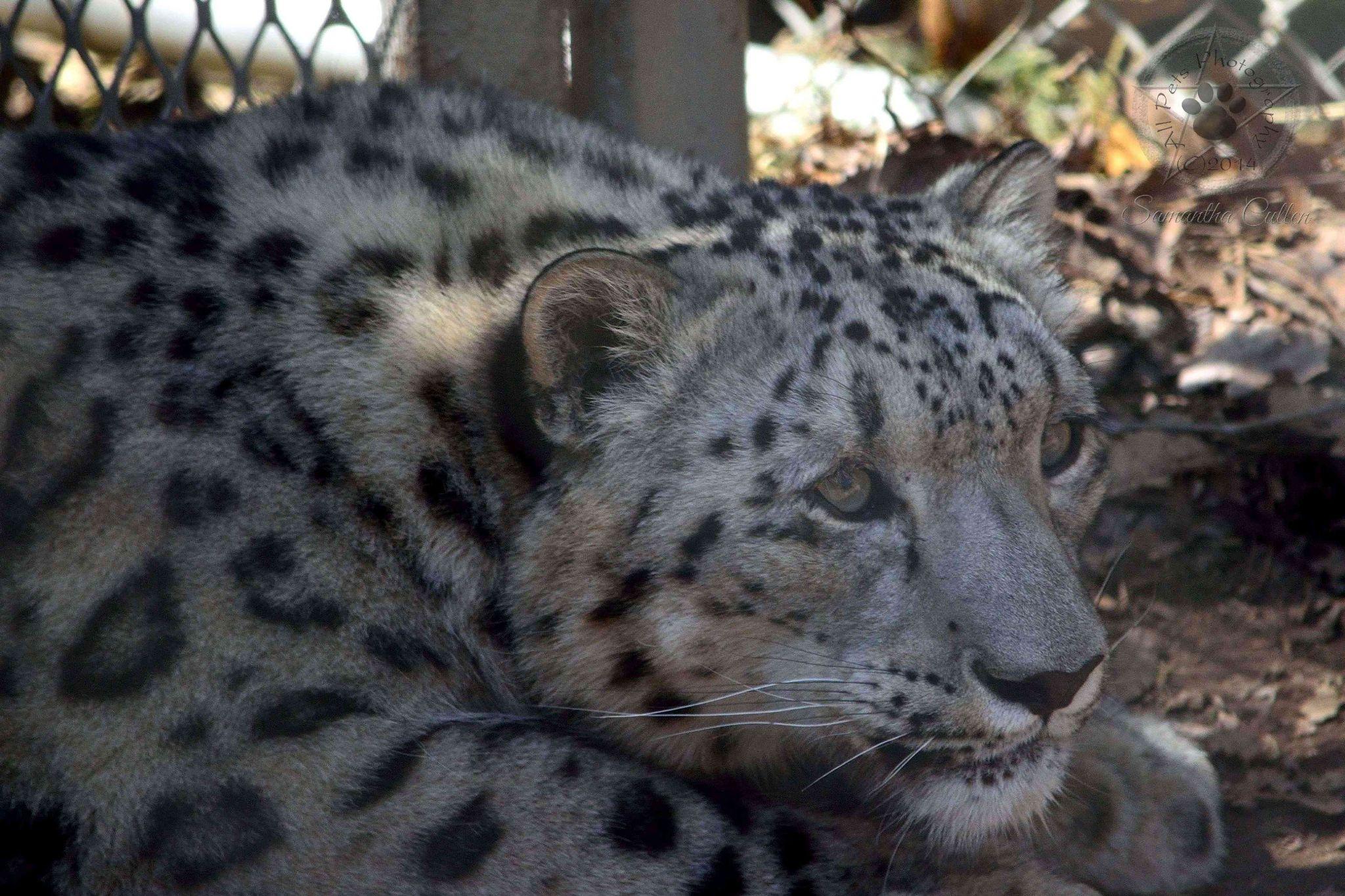 Snow Leopard by Samantha Cullen