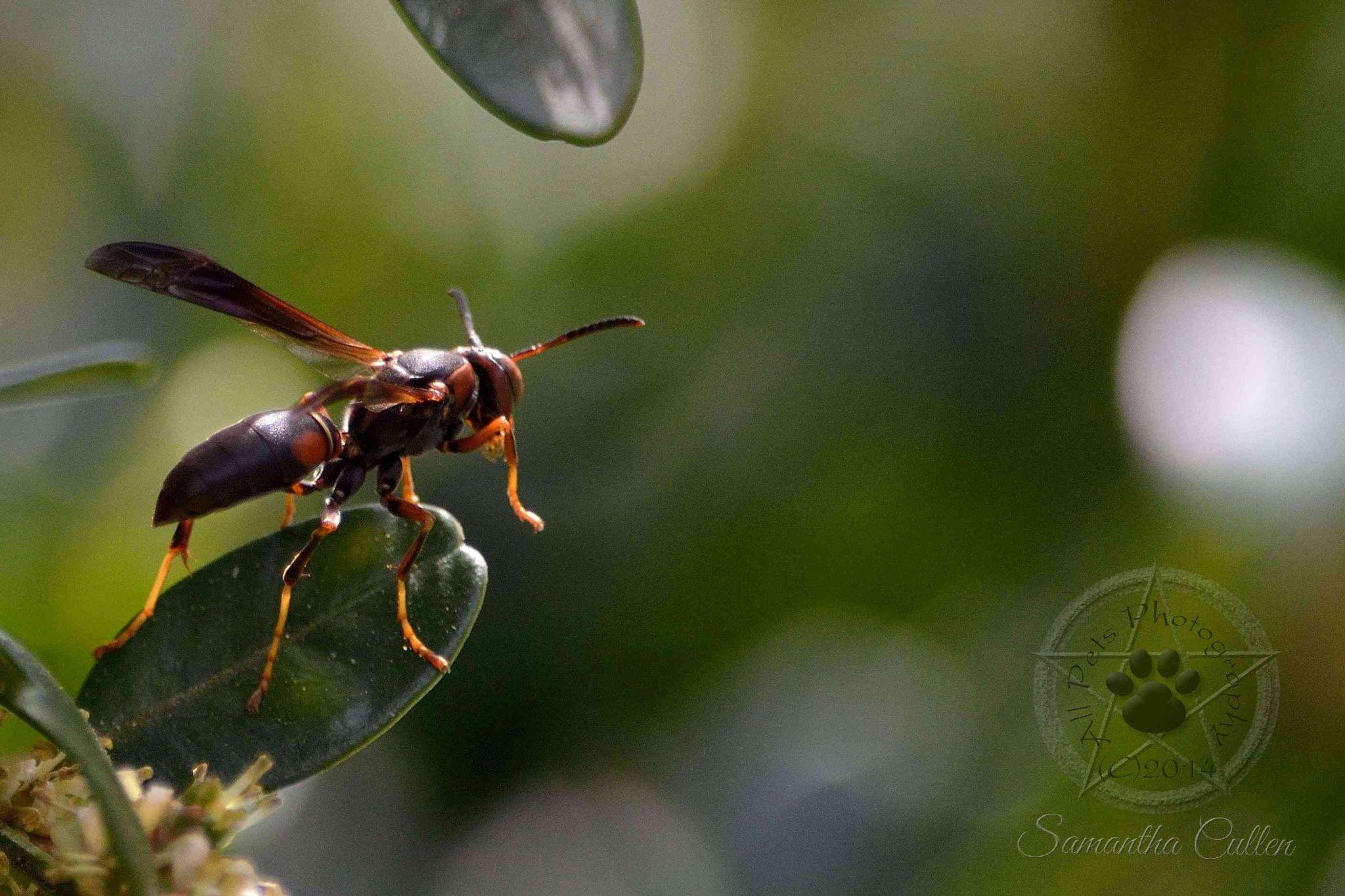 Wasp by Samantha Cullen