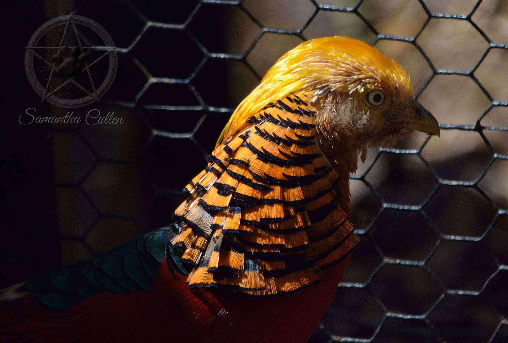 Pheasant by Samantha Cullen