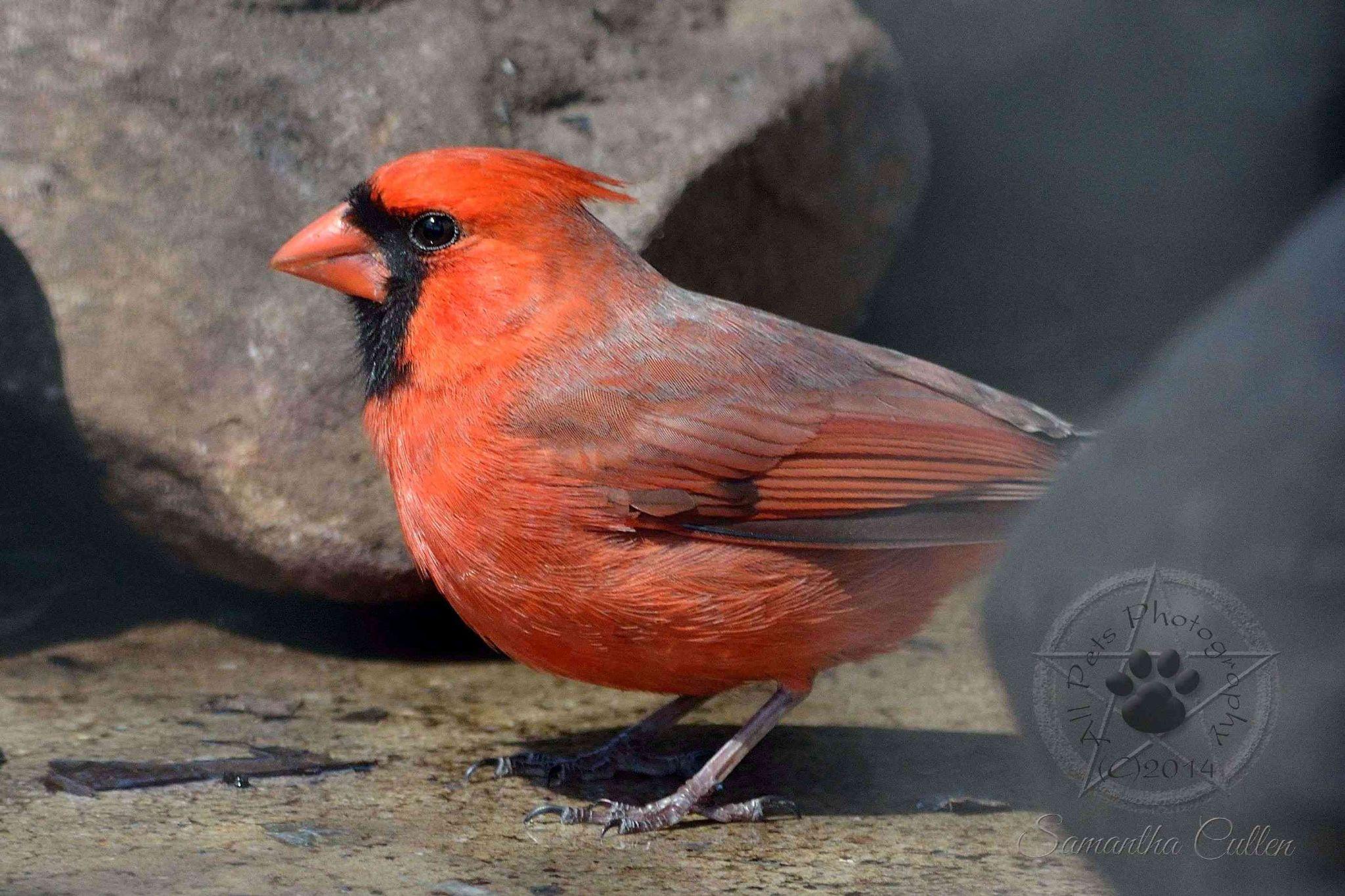 Cardinal by Samantha Cullen