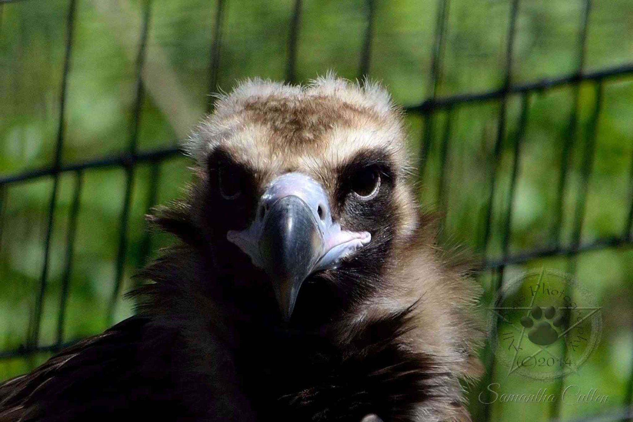 Vulture by Samantha Cullen