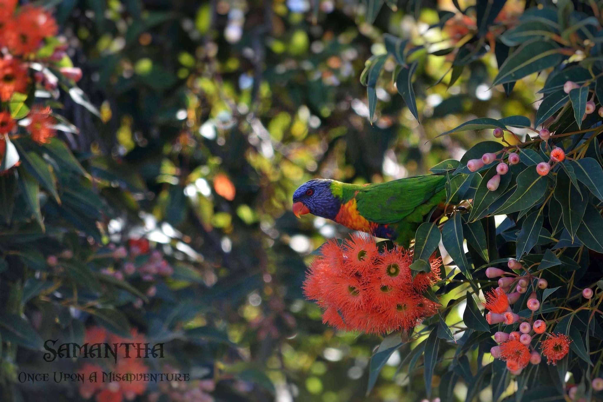 Illawarra Flame Tree & Rainbow Lorikeet by Samantha Cullen