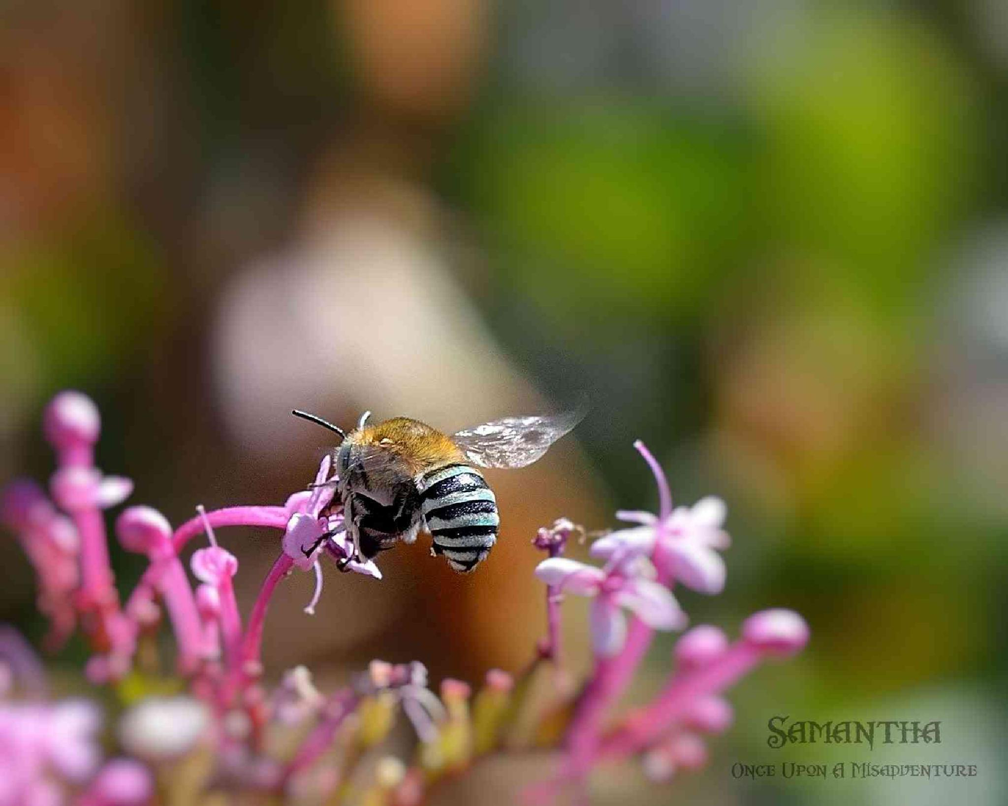 Blue Banded Bee ~ Australia by Samantha Cullen