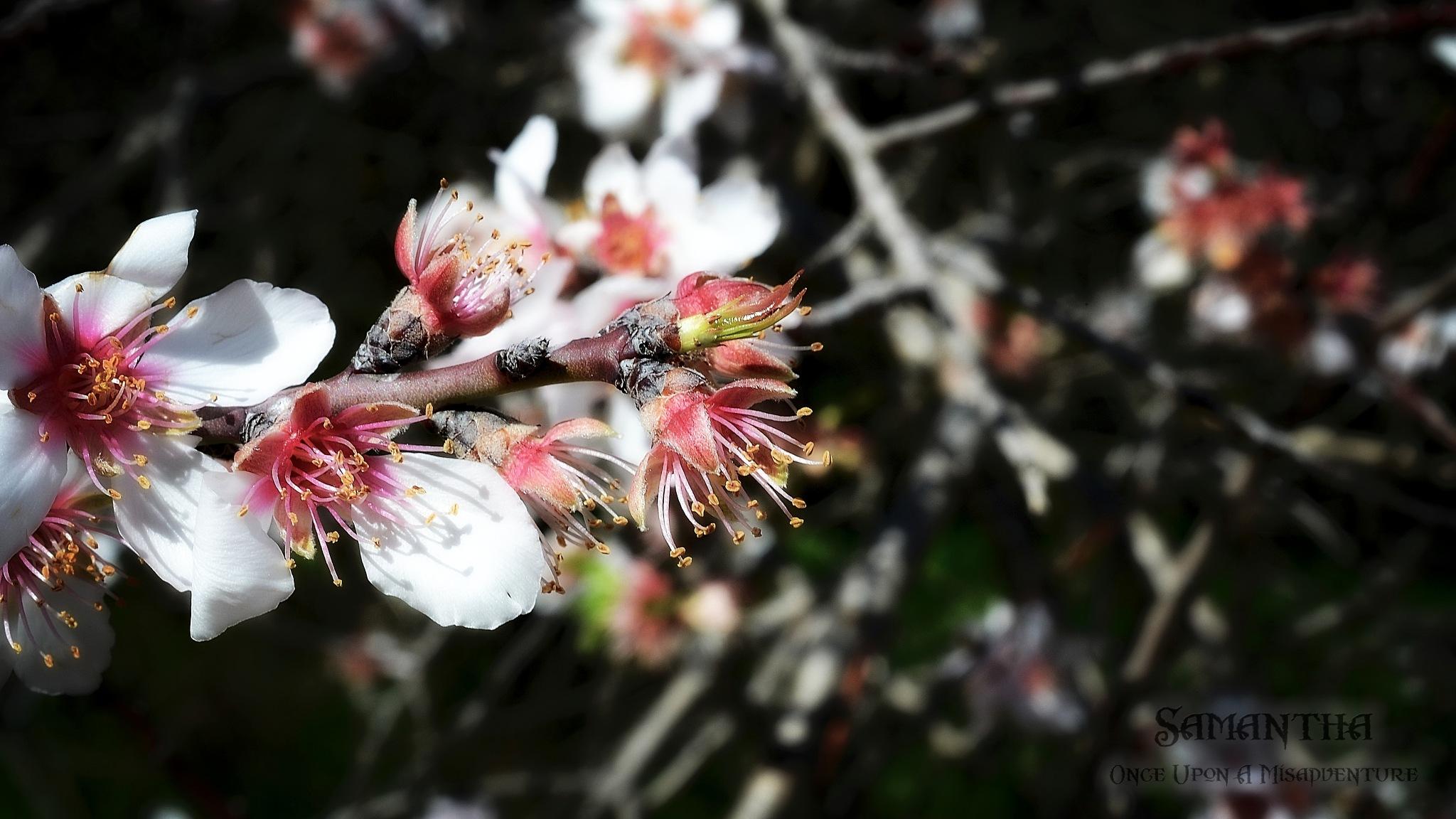 Almond Blossom by Samantha Cullen