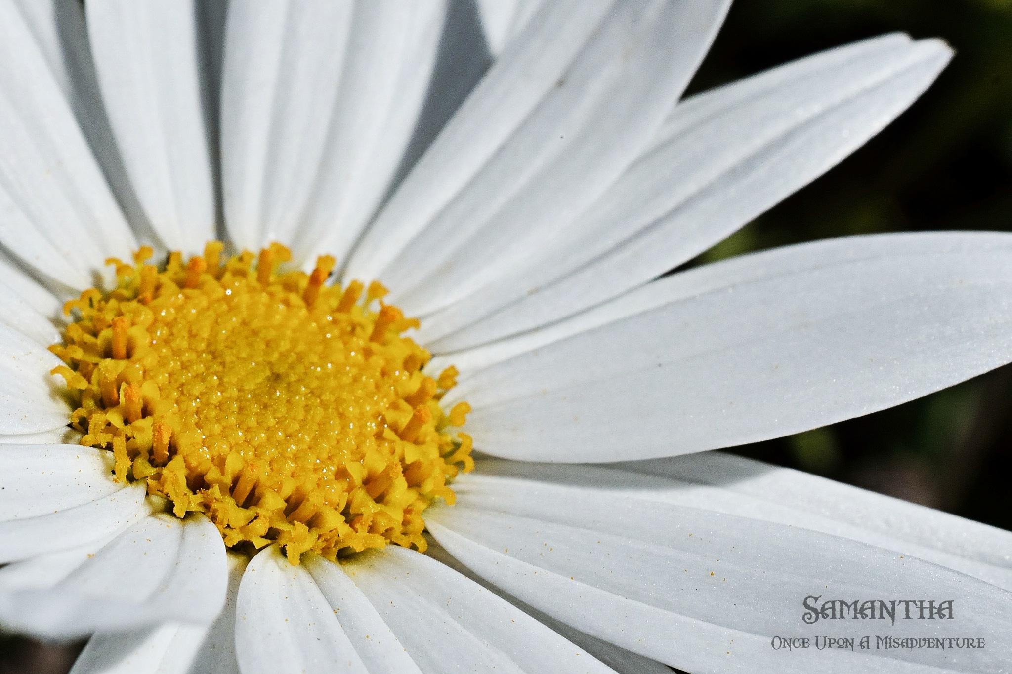 Daisy by Samantha Cullen