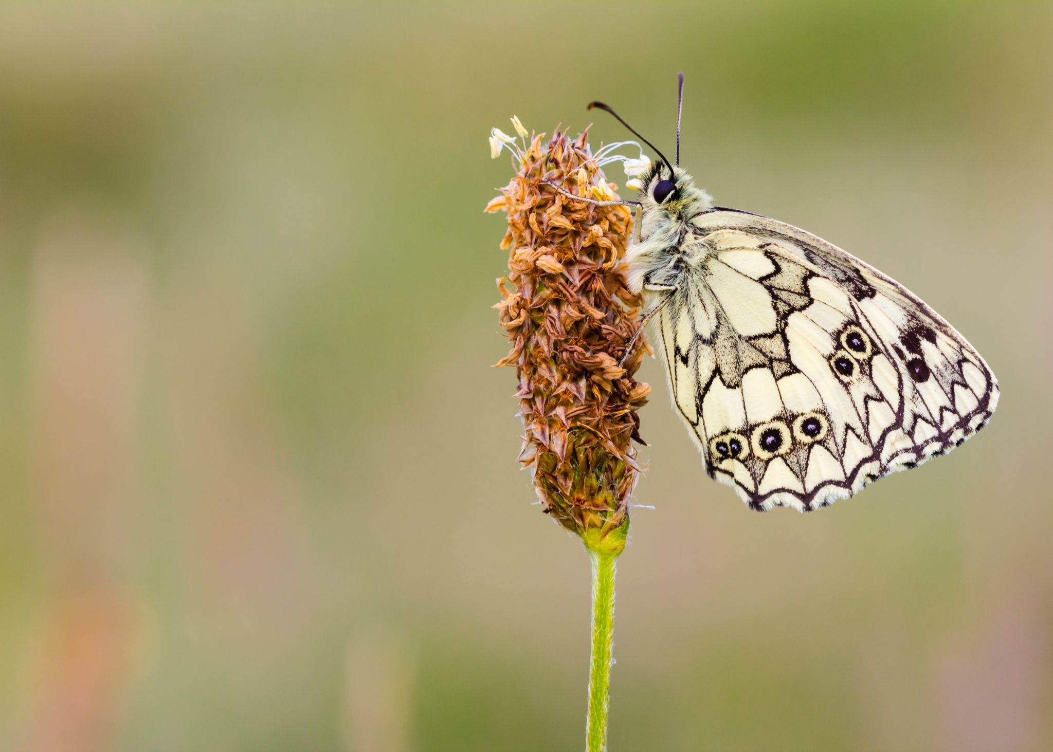 Marbled White by Stormrider