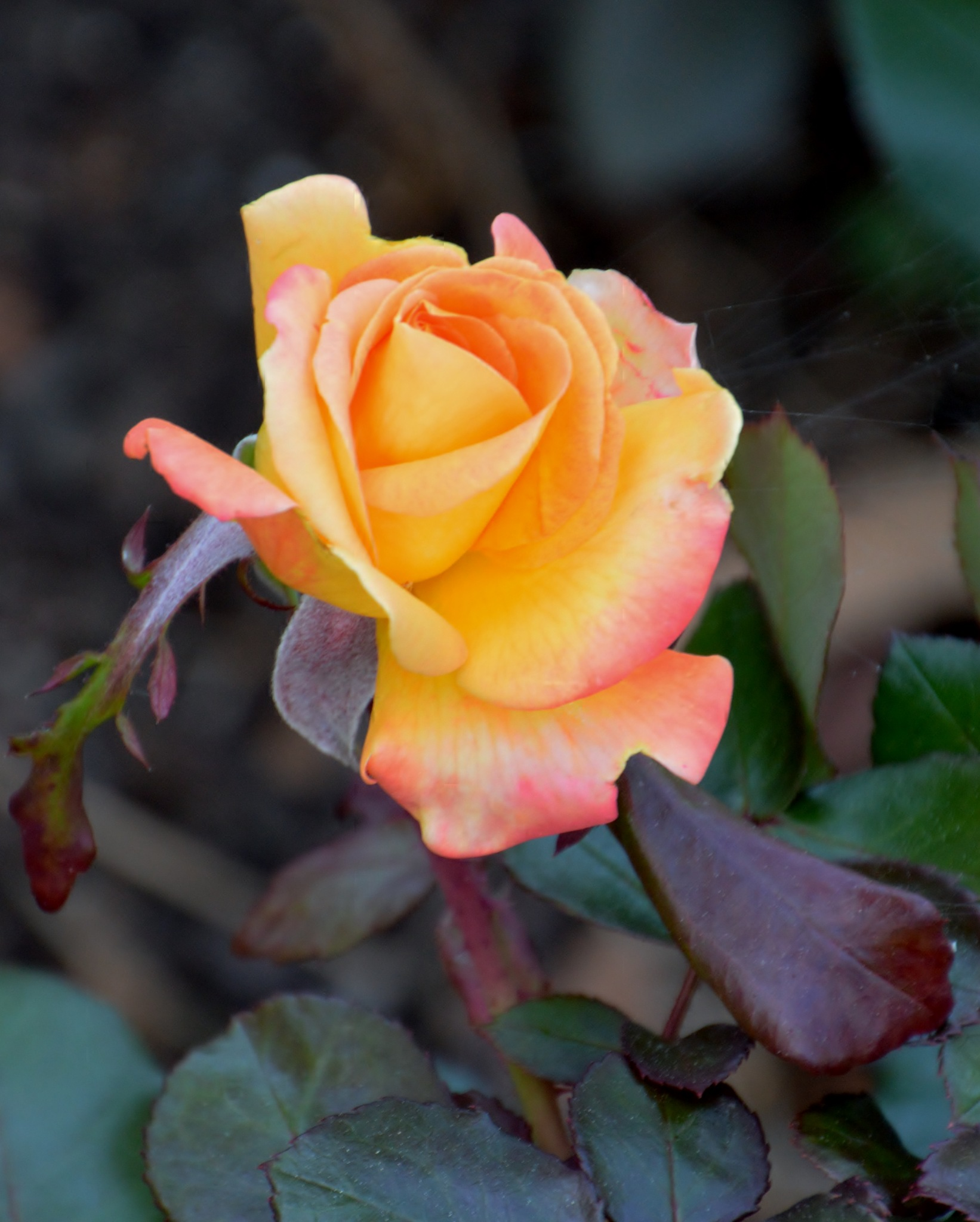 A Rose by CaliforniaPeggy