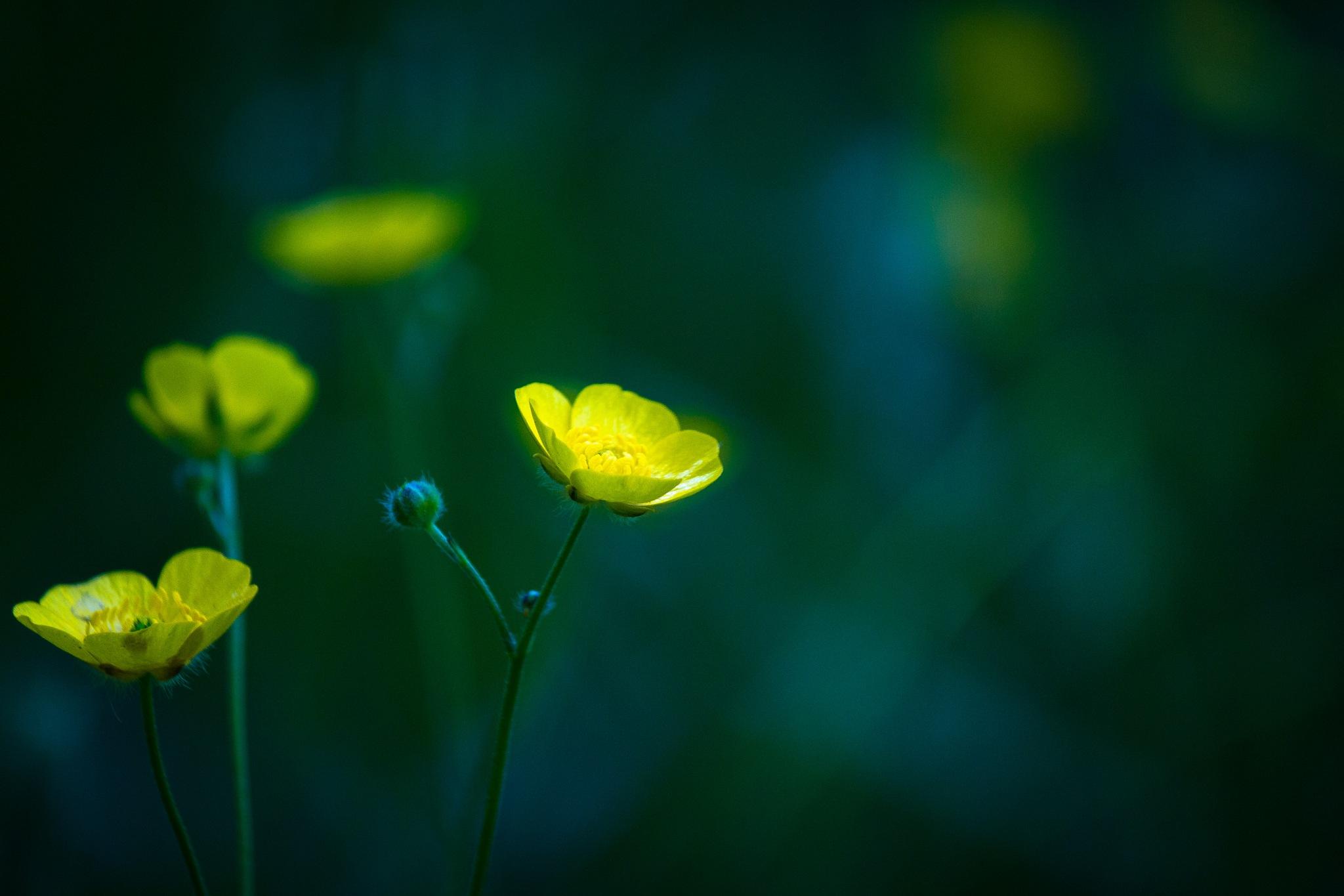Flowers by Mirza Buljusmic