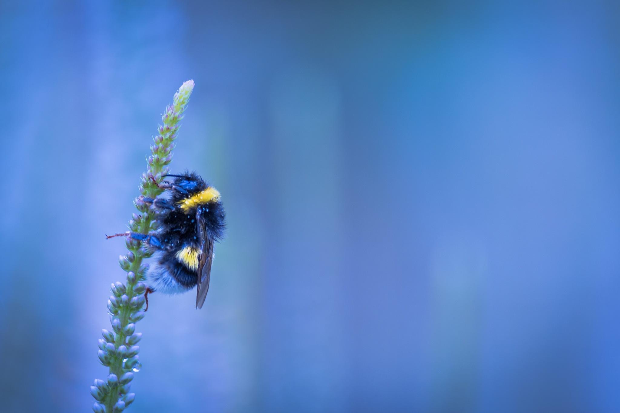 Bumblebee by Mirza Buljusmic
