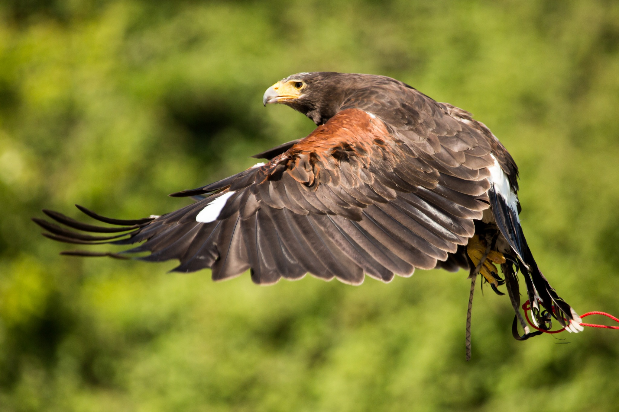 Harris Hawk by Gareth Sawbridge