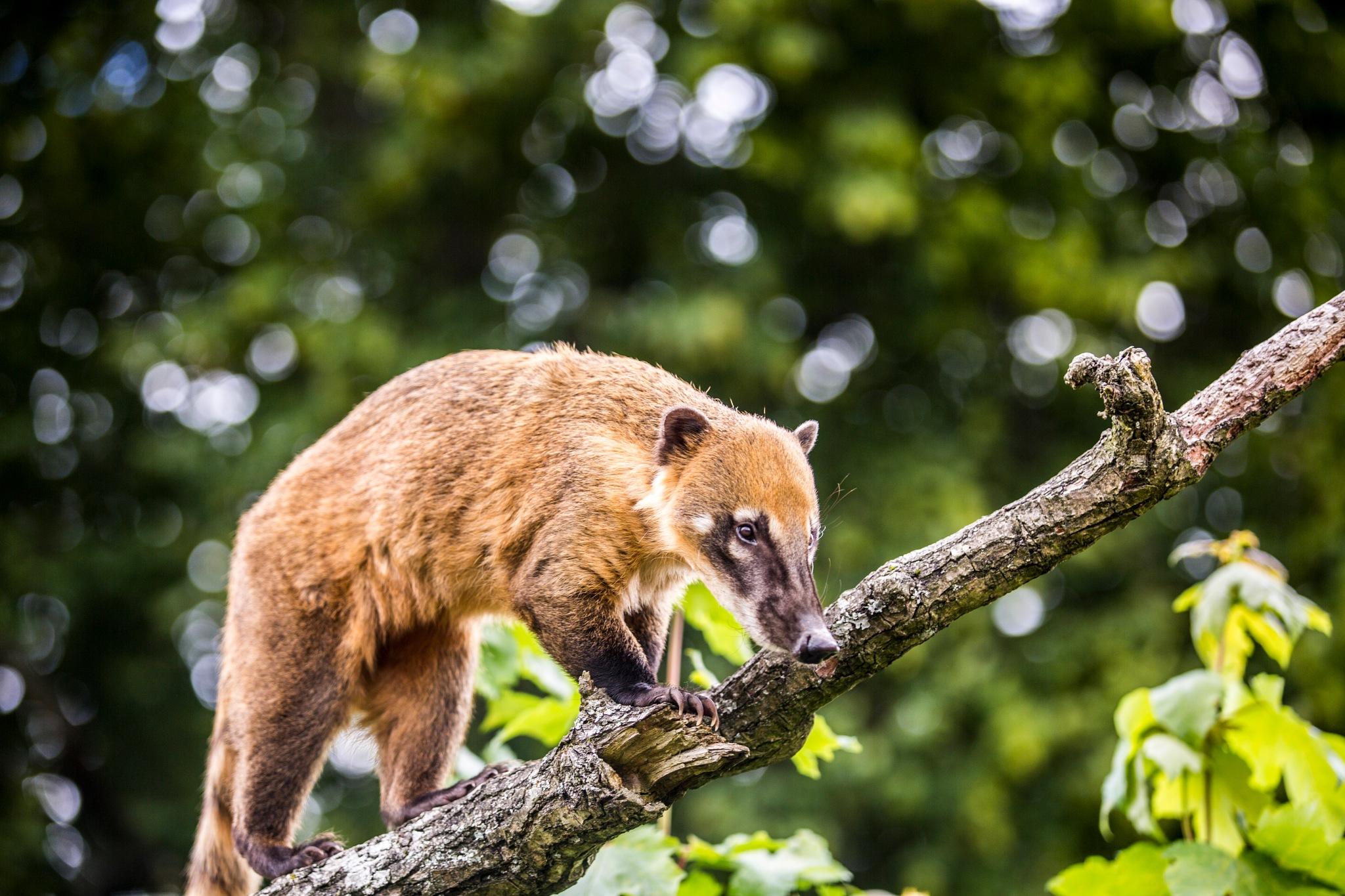 Coati by Gareth Sawbridge
