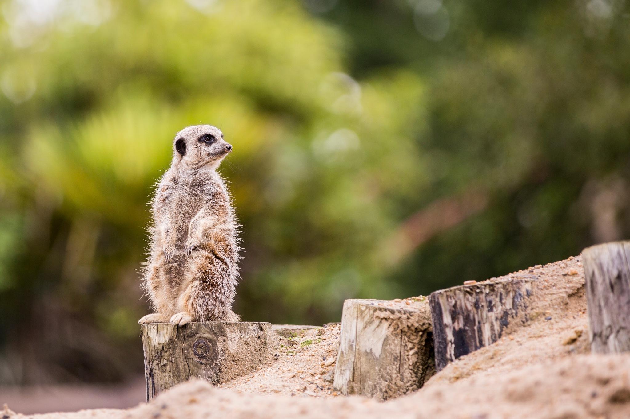Meerkat on Watch by Gareth Sawbridge