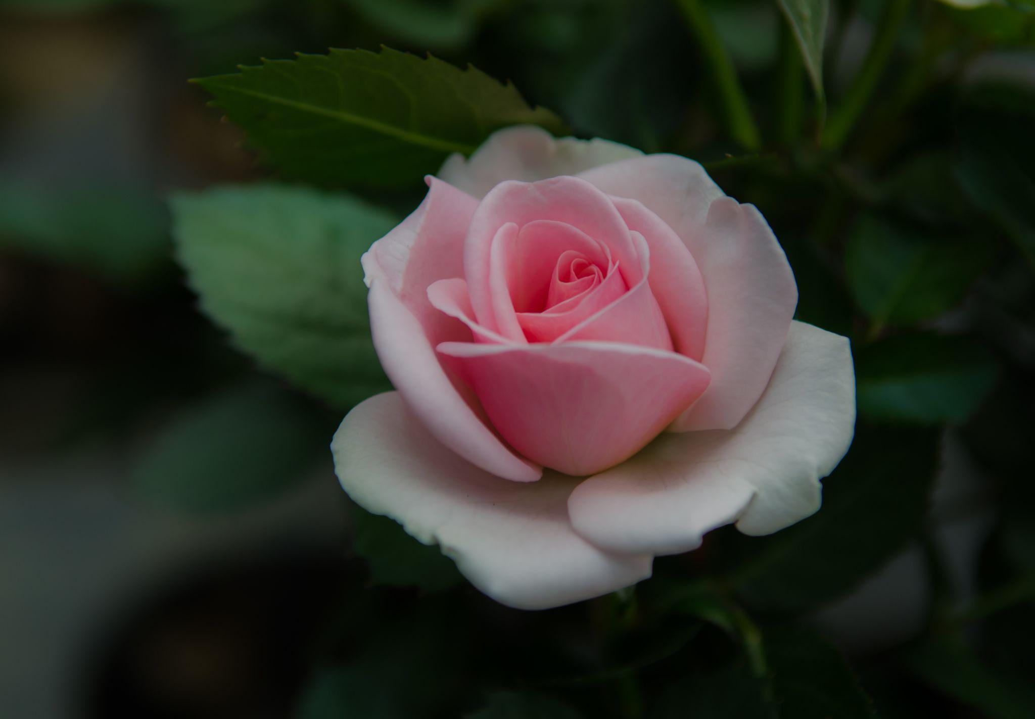 Rose by albert.lee.98892