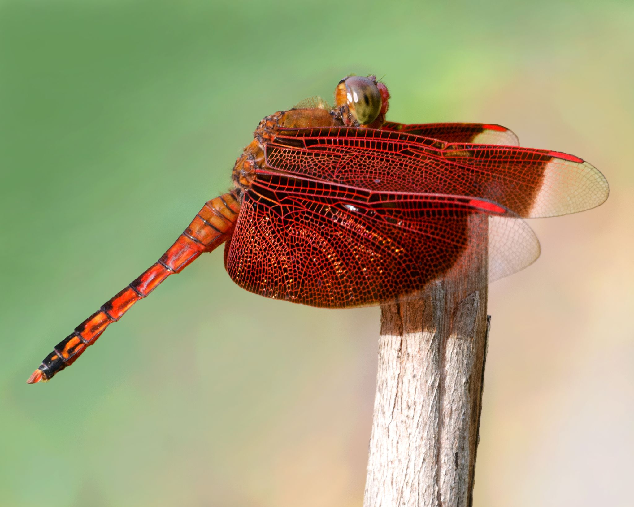 Red dragonfly by albert.lee.98892