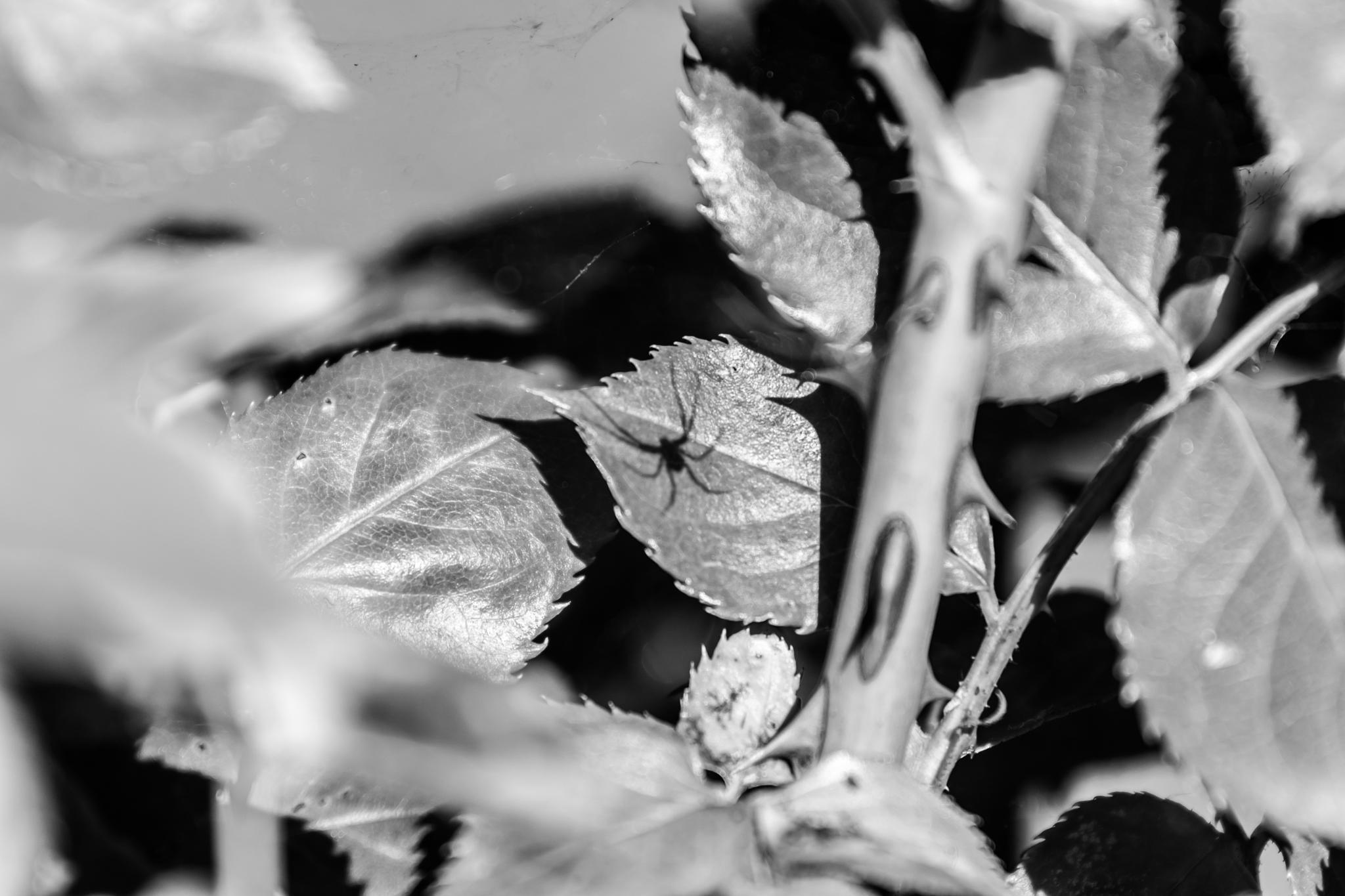 Shadow spider by Laurent Adien