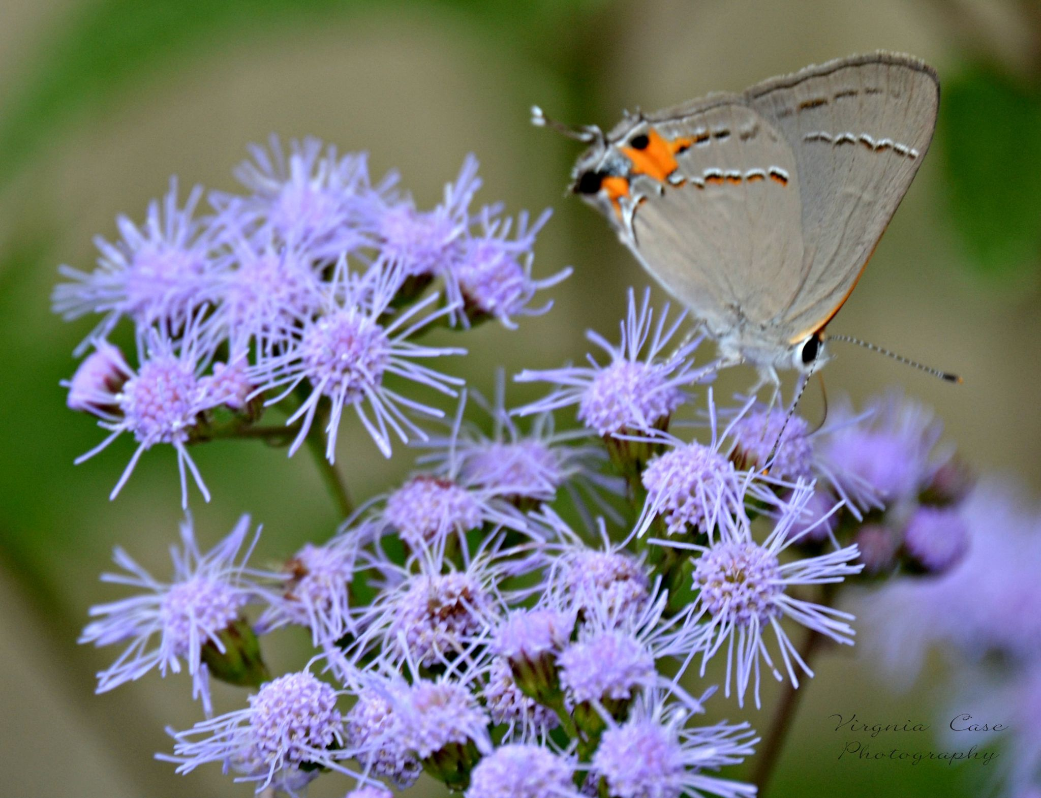 Butterfly by virginia.l.case