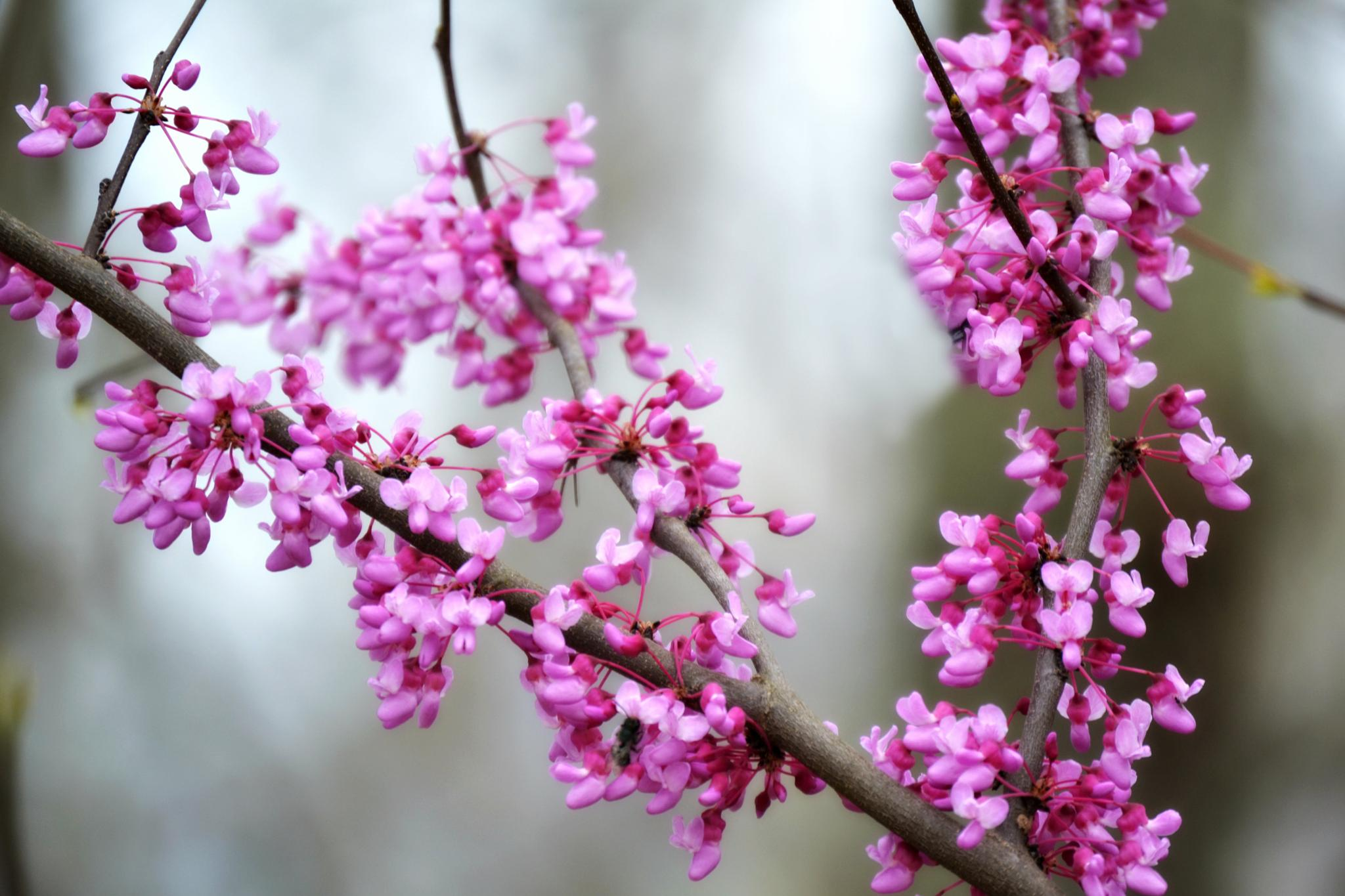 Red buds by virginia.l.case