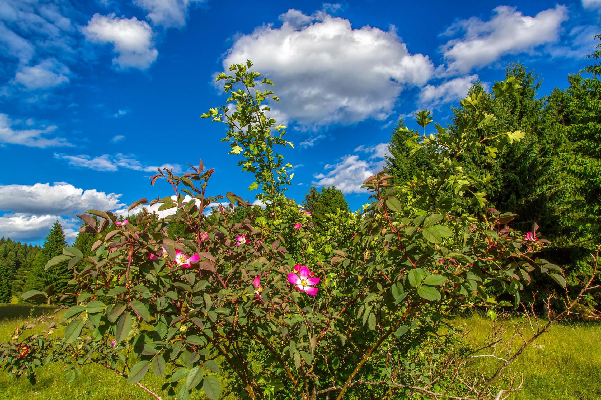 Mountain rose by stanislav.horacek2