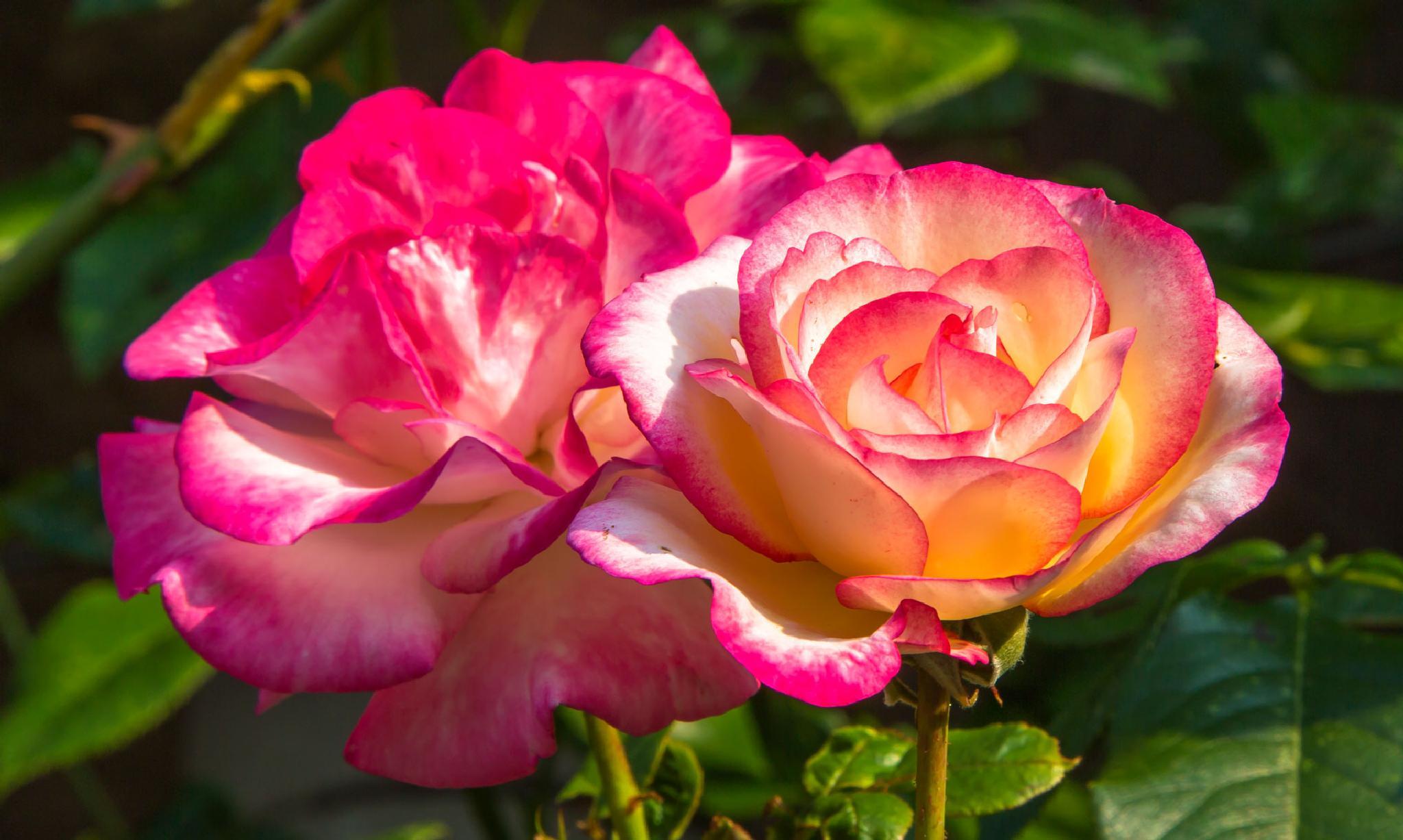 Roses by stanislav.horacek2