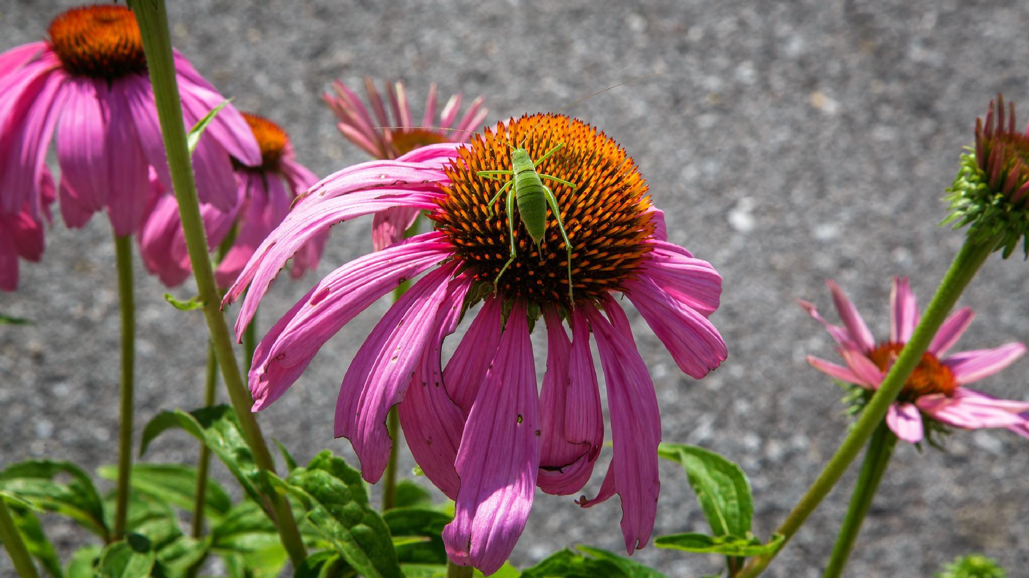 Echinacea purpurea by stanislav.horacek2