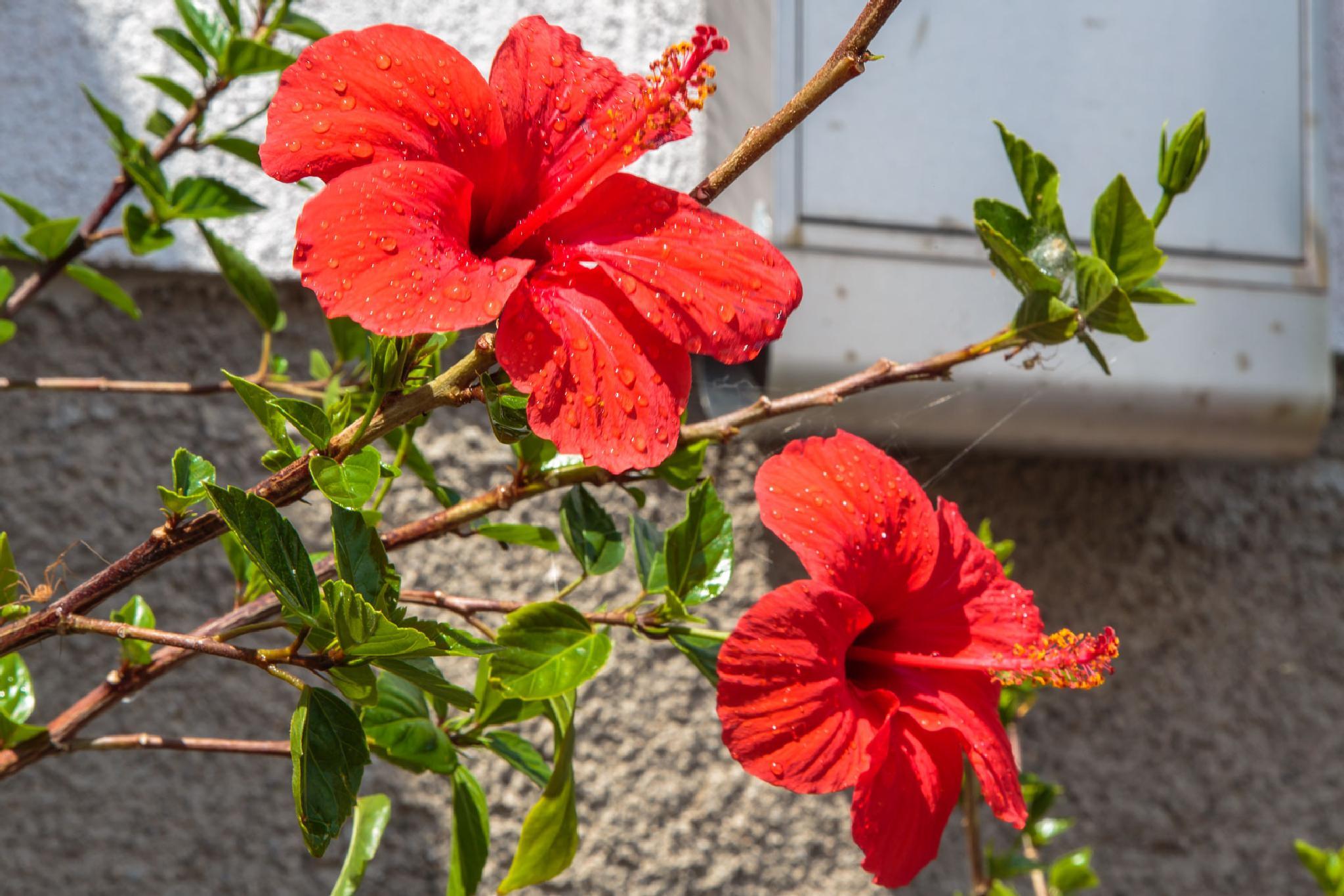 Hibiscus by stanislav.horacek2