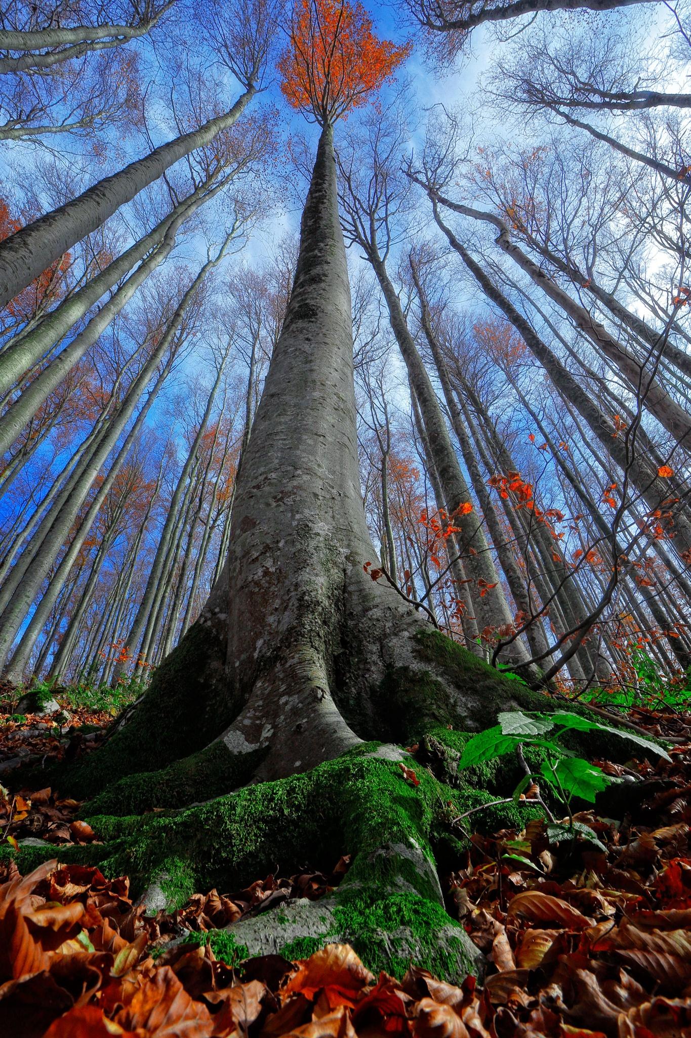 Beech tree by stanislav.horacek2