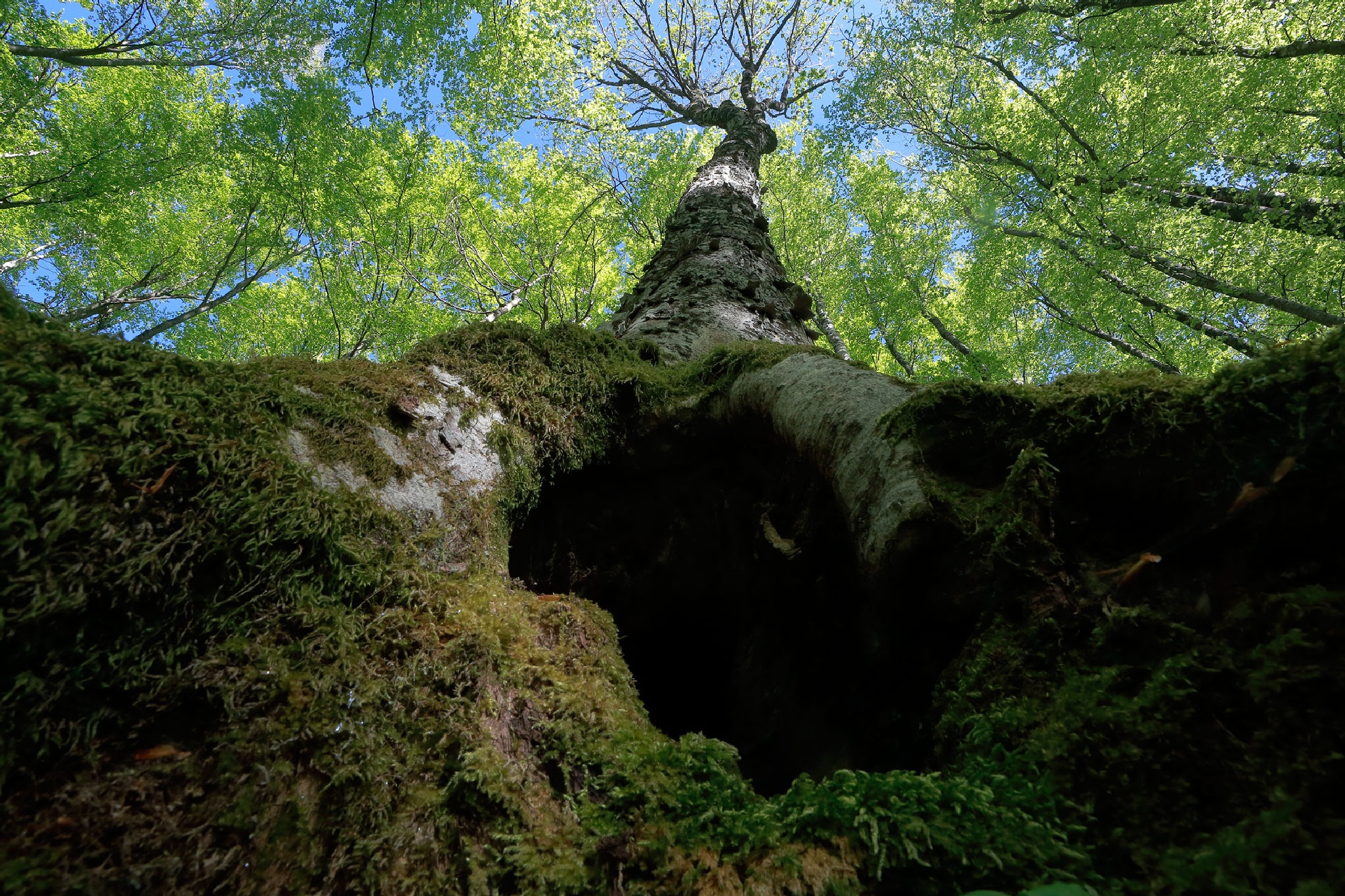 Maple tree by stanislav.horacek2