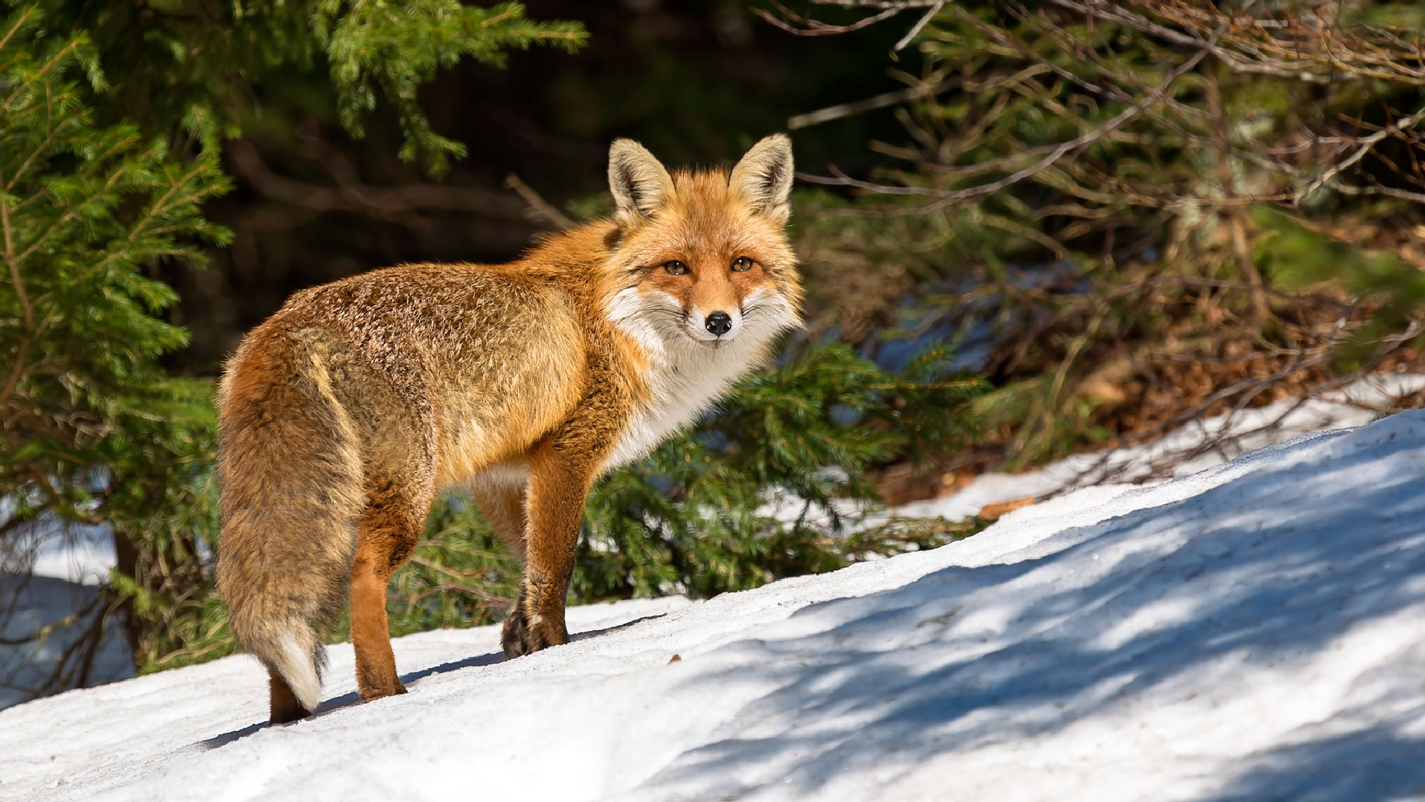 Foxy lady by stanislav.horacek2