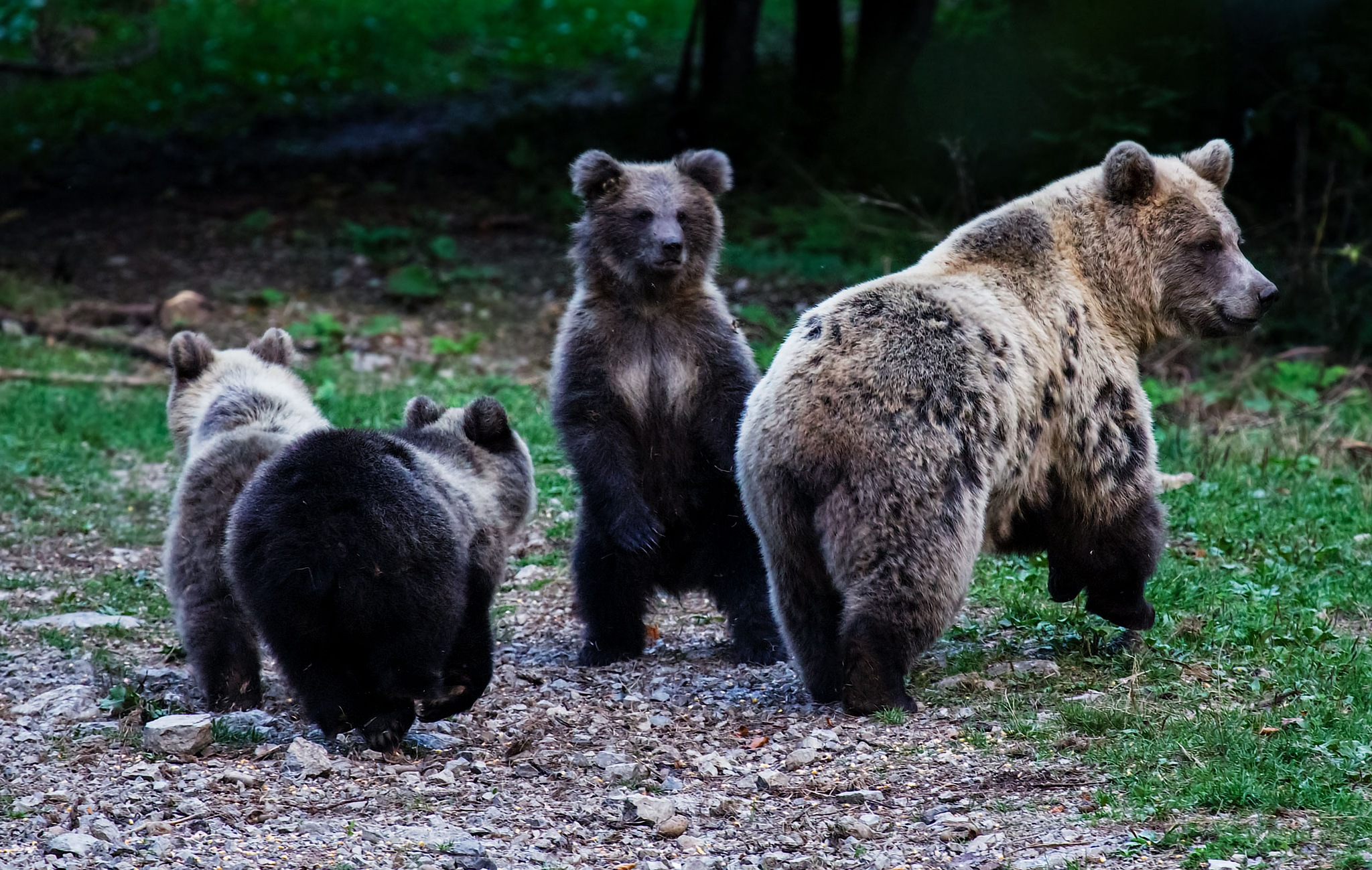 Brown bear family by stanislav.horacek2