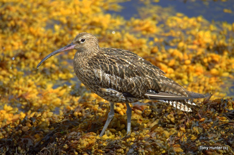 Curlew by anthony.hunter.5851
