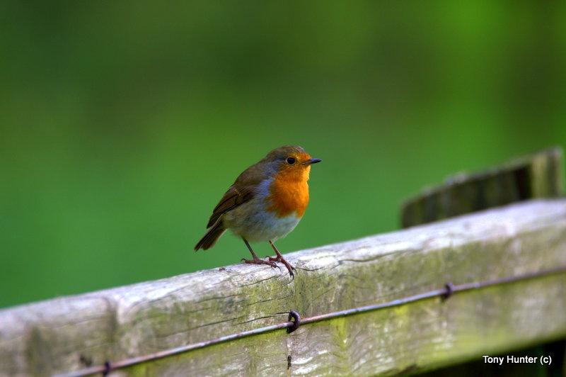 Robin by anthony.hunter.5851