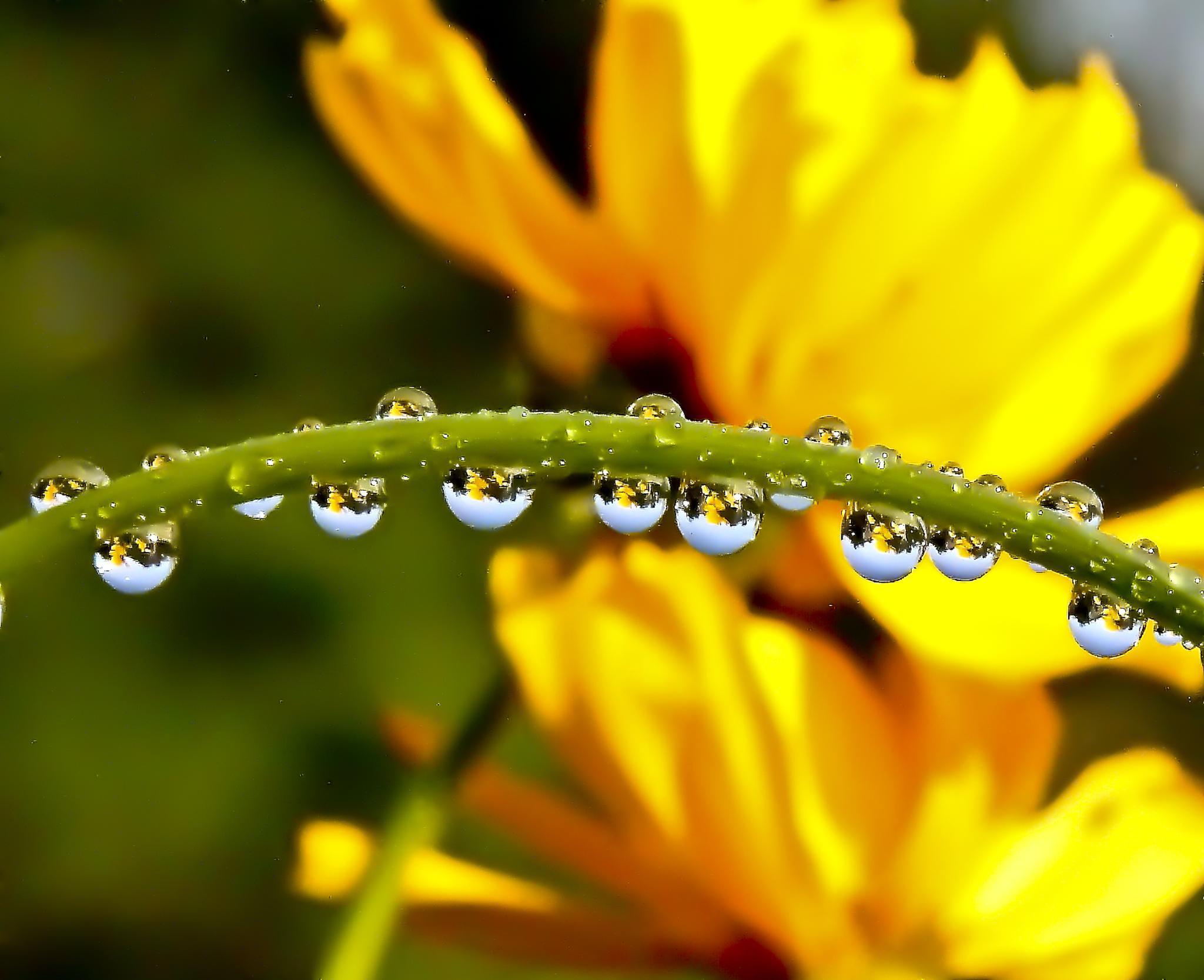 Photo in Macro #flowers #yellow #rain drops #drops #stem #plant #summer #reflection #blue-sky