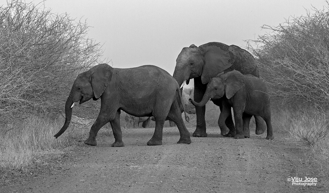 African Elephants crossing and a Rhino in the background by Viju Jose