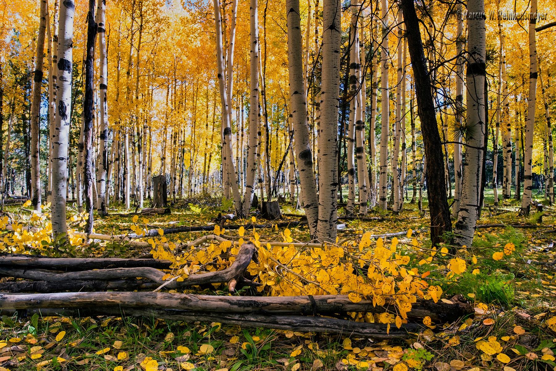 Autumn Aspens Aglow  by reinkensmeyer