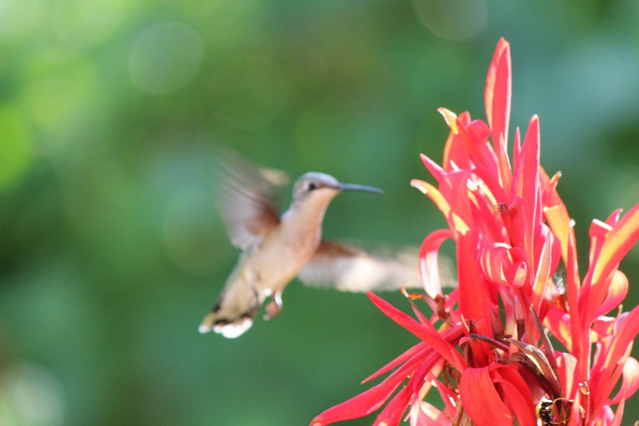 humminbird by LAIMA