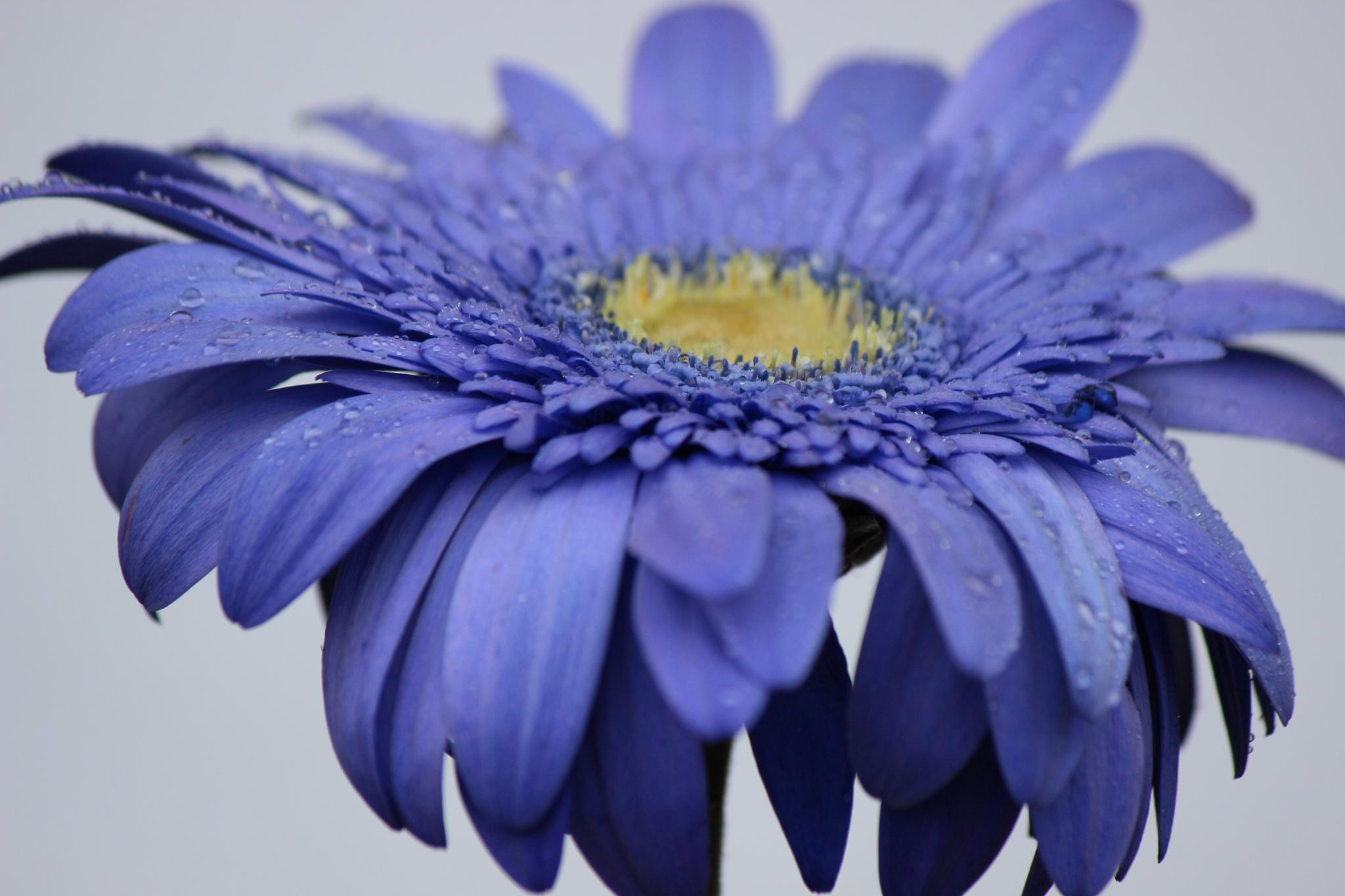 blue flower by LAIMA