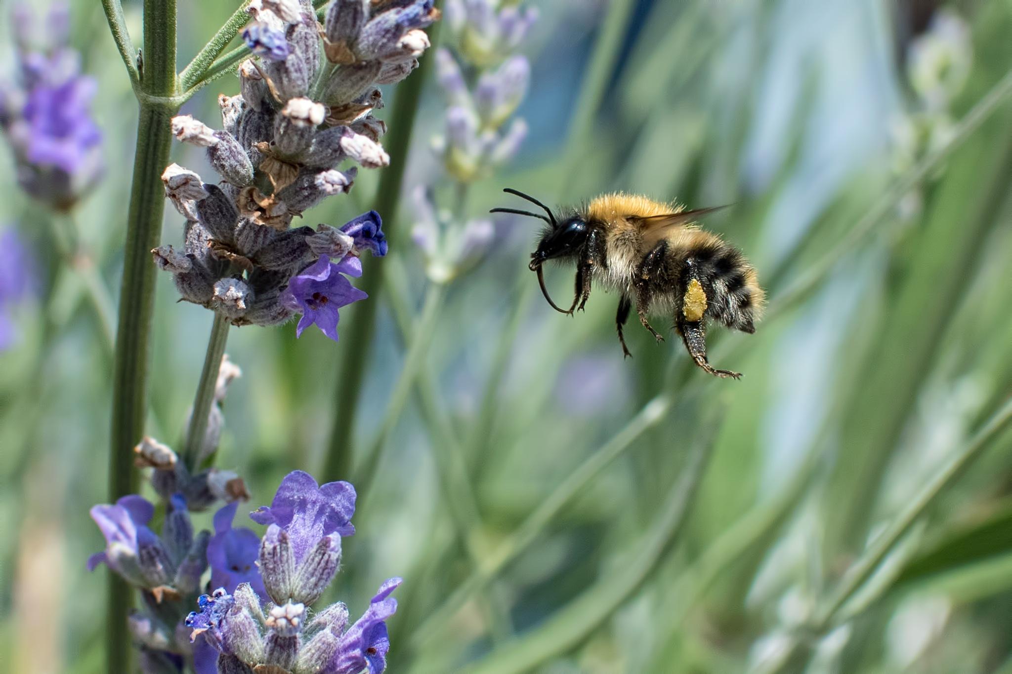 Bee amongst Lavender  by Mart R Porter