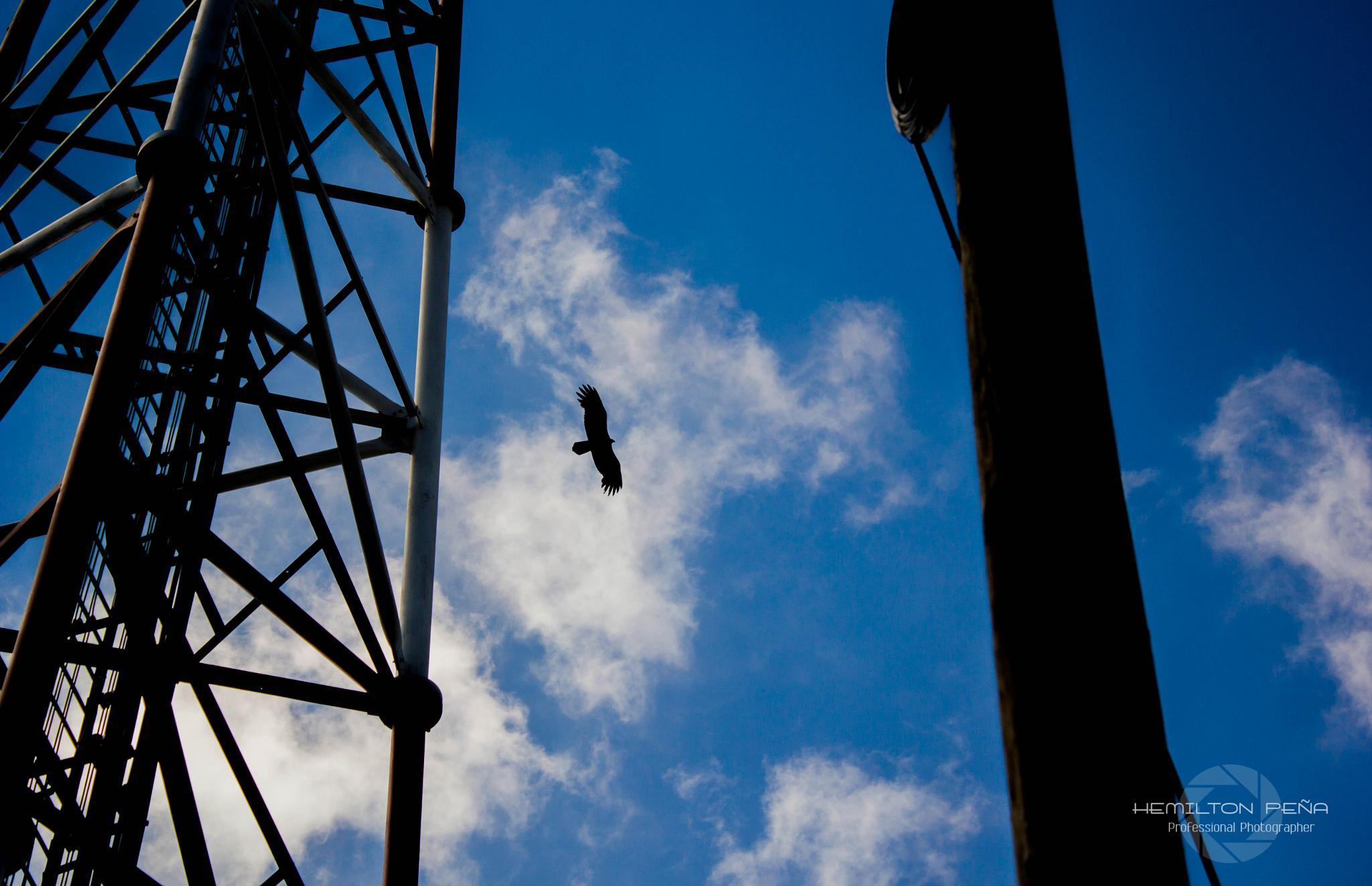 Eagle by Hemilton Peña