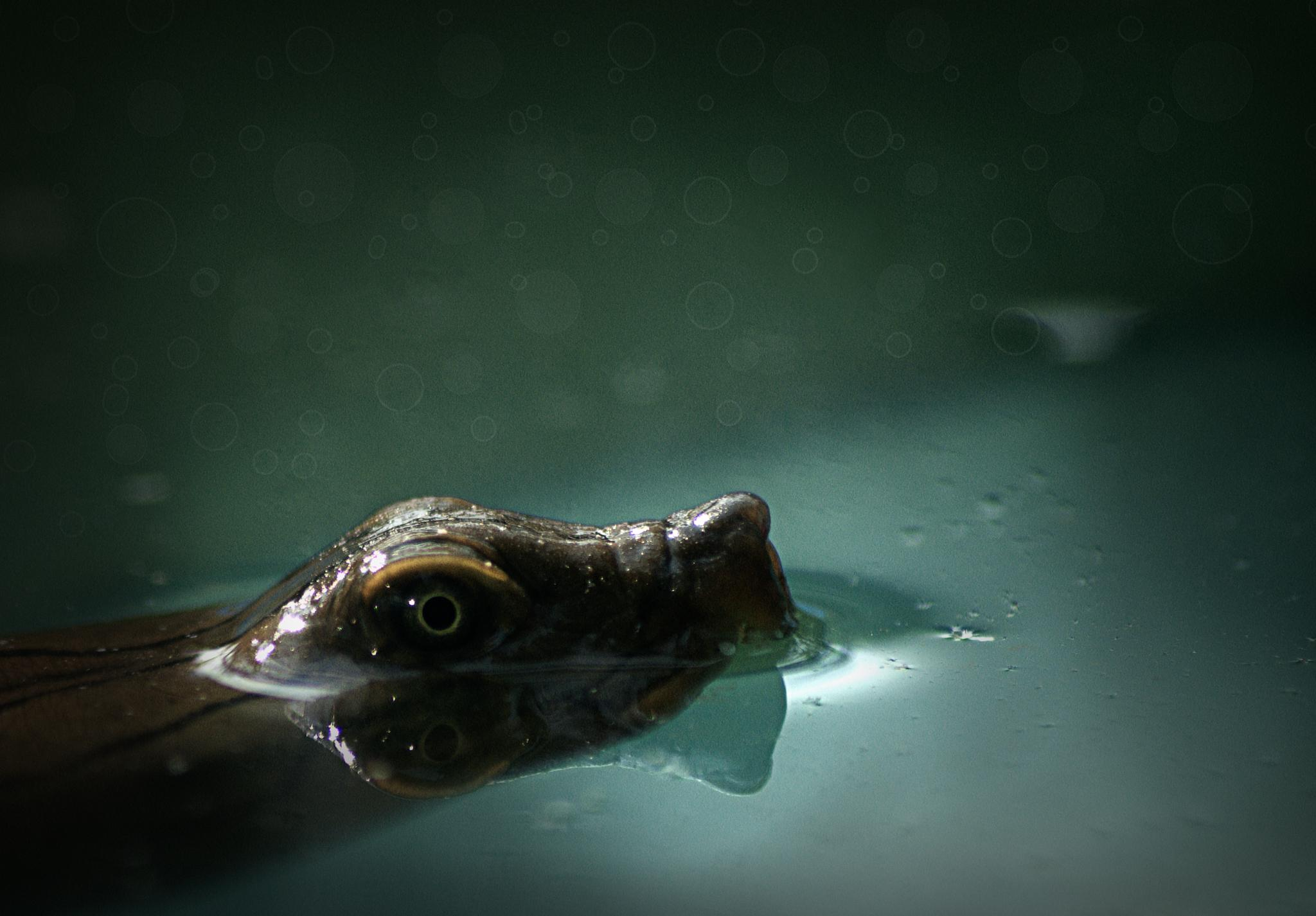 || THE PIG NOSED TORTOISE || by SOUMIN KUMAR SAHA