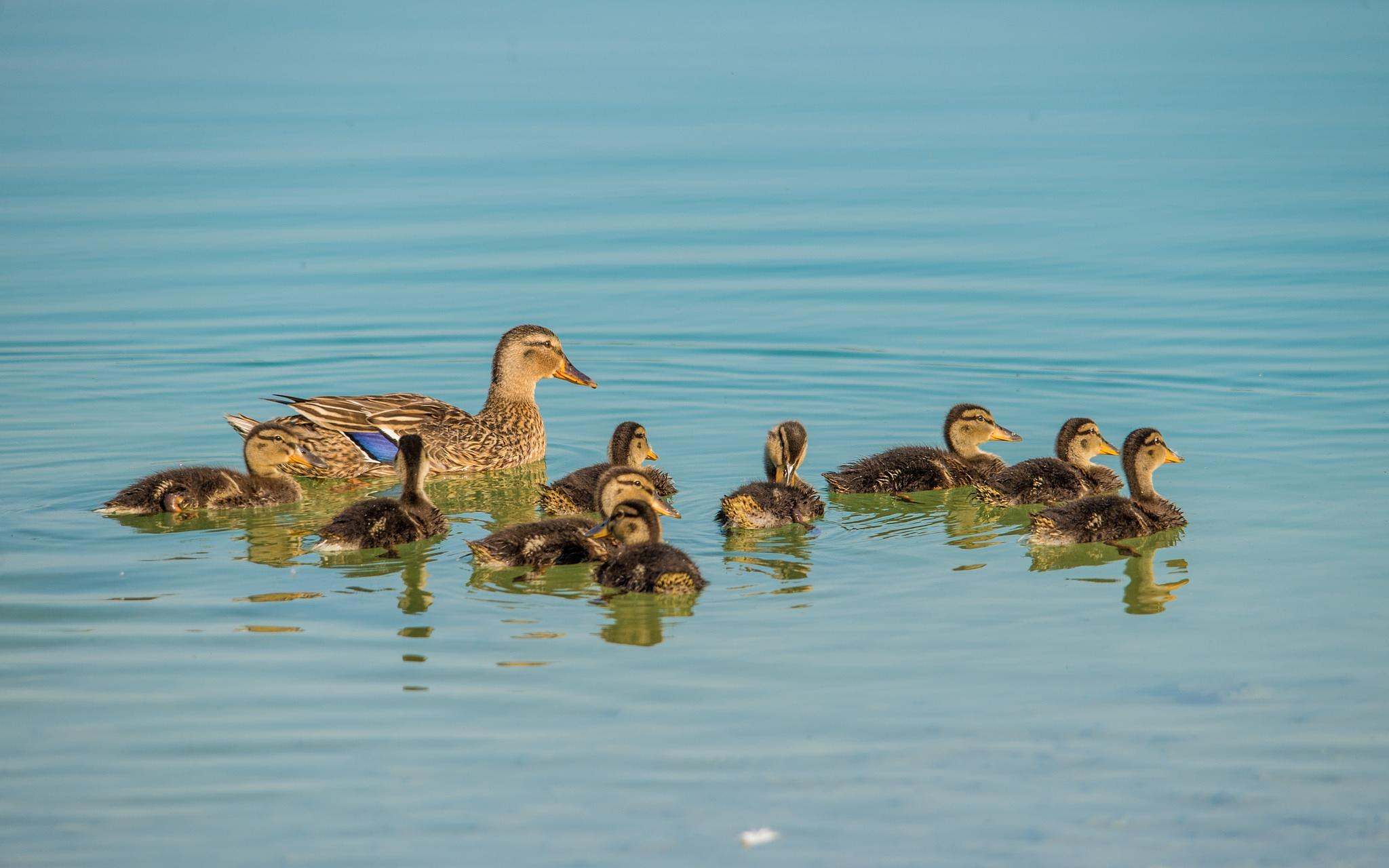 ducks family by Vlado Ferencic
