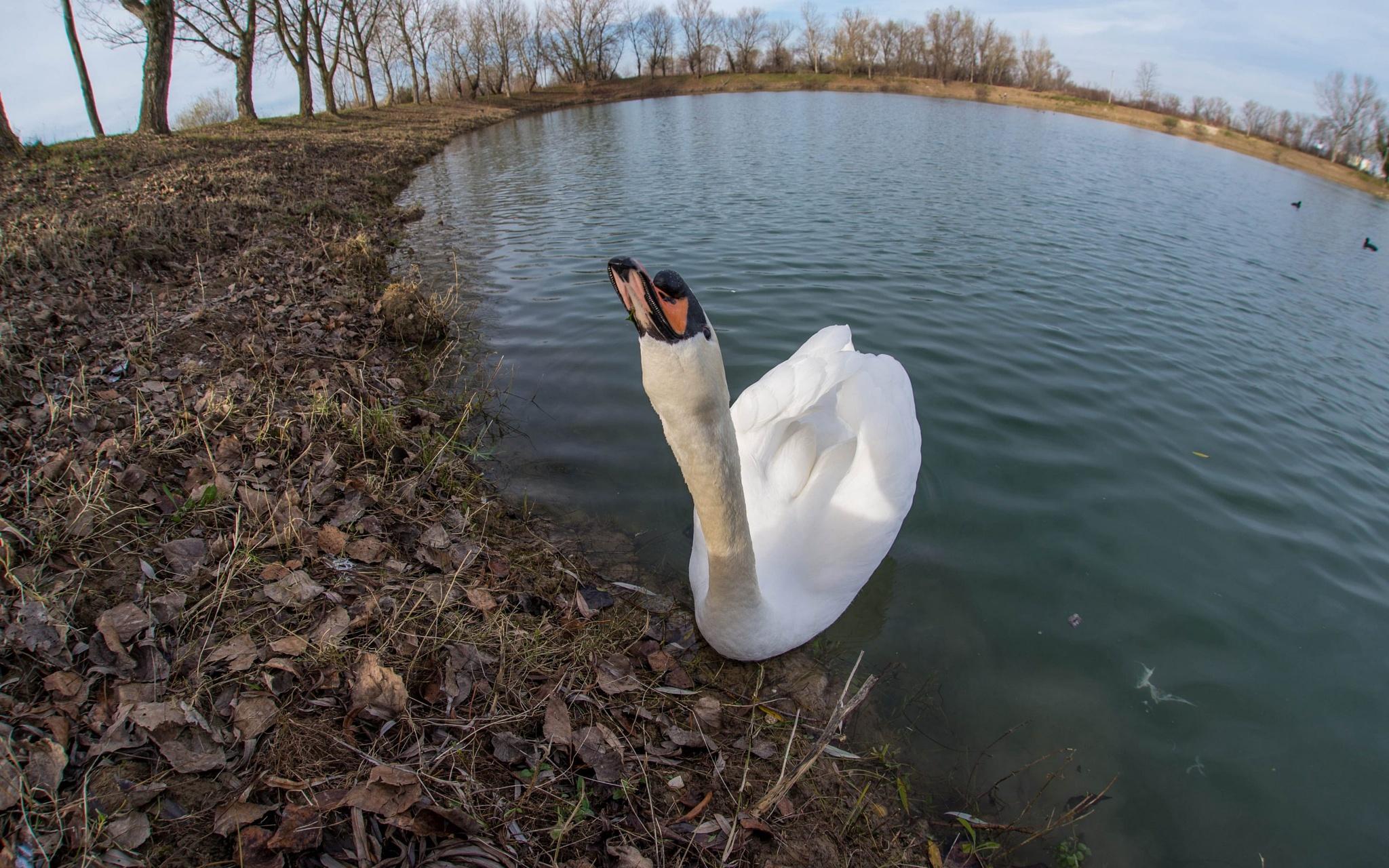 swan by Vlado Ferencic