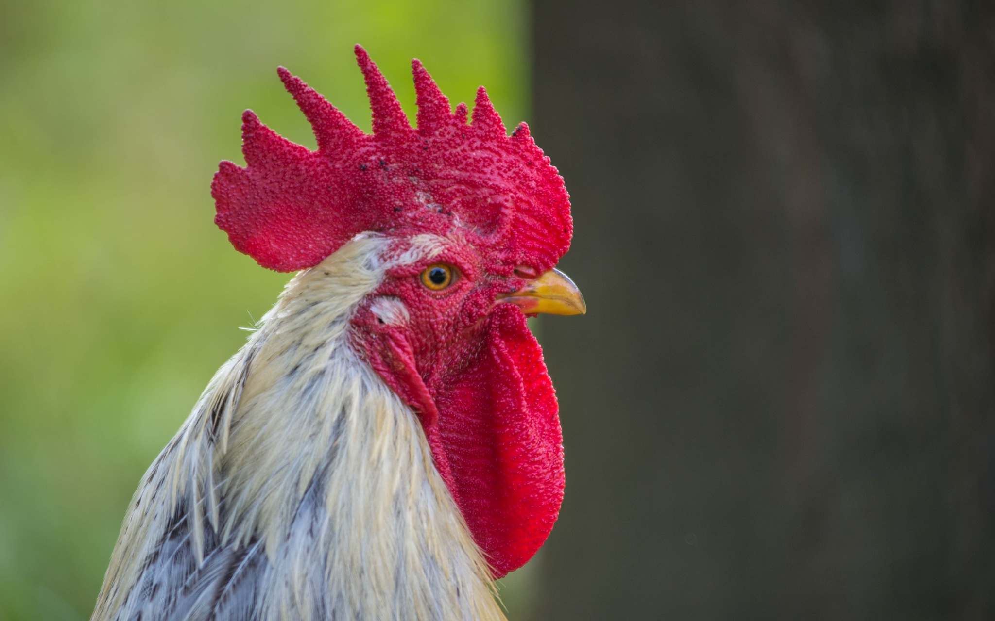 rooster by Vlado Ferencic