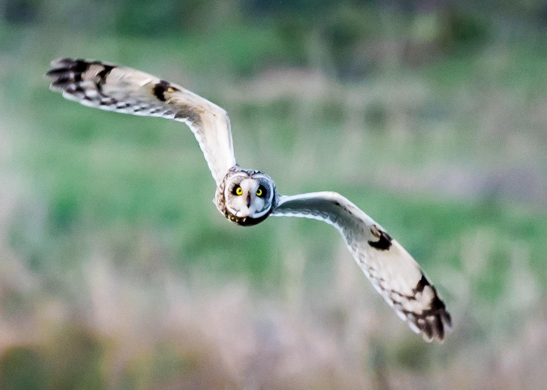Short-eared owl by EricBeullens